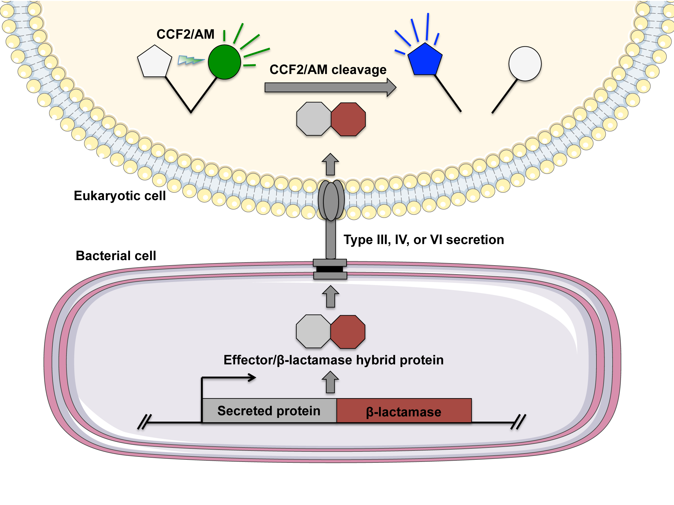 Evaluating bacterial secretion using the FRET-based substrate CCF2/AM.