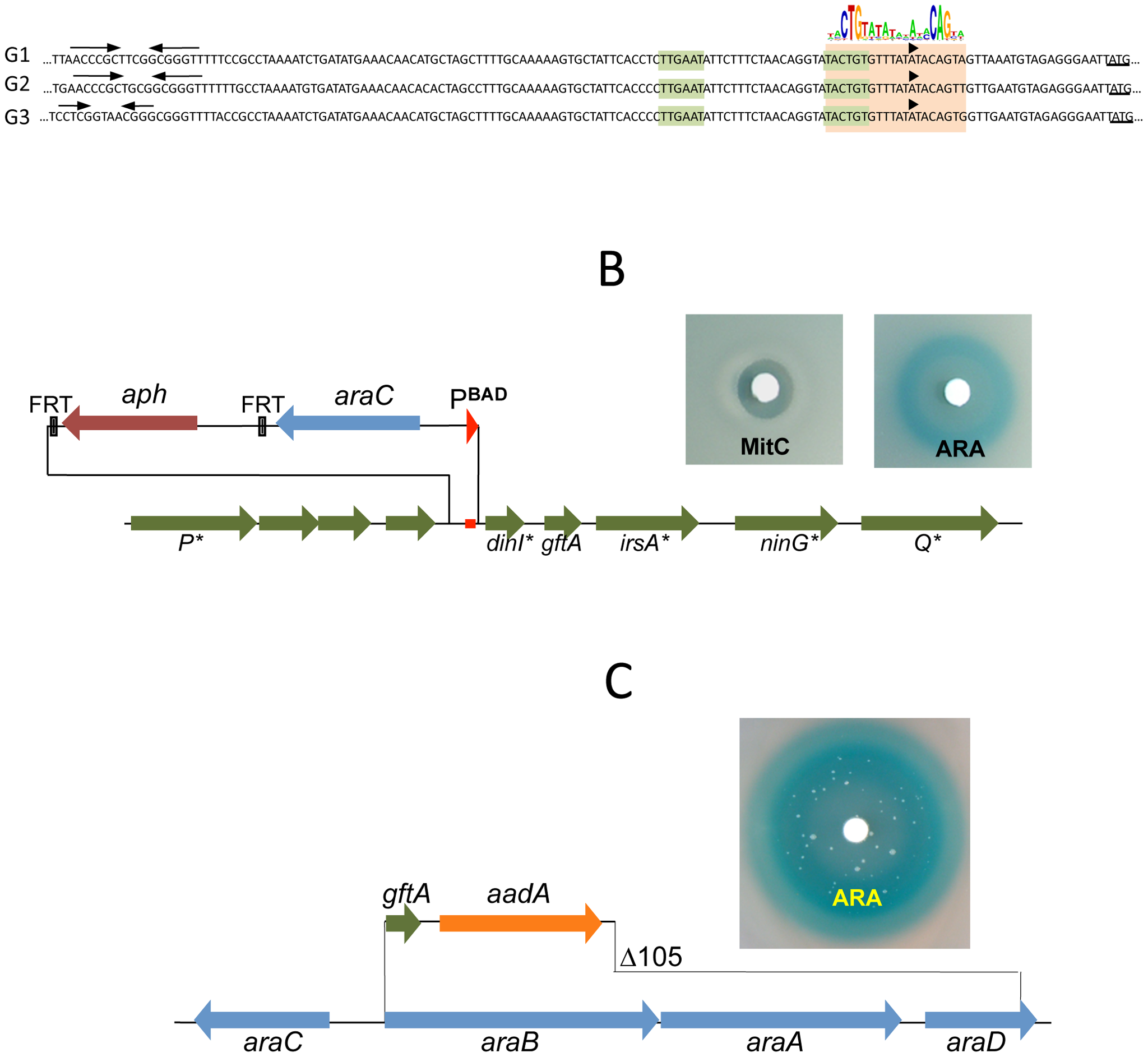 LexA-controlled prophage loci required for induction.