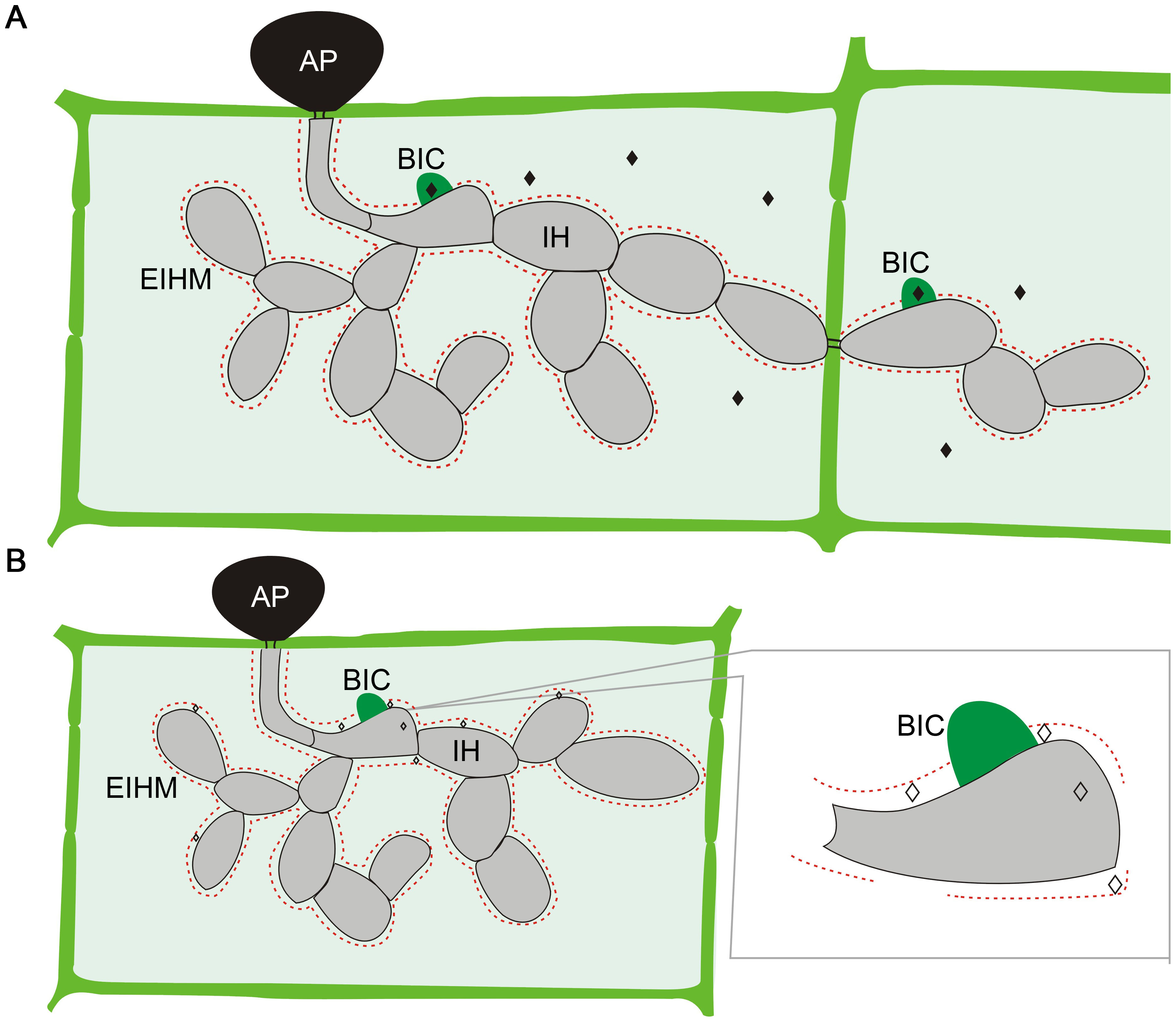 Localization of <i>M. oryzae</i> effectors during plant infection.