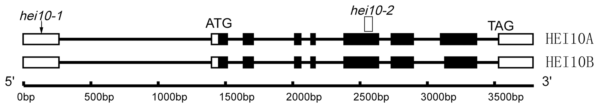 Organization of the <i>HEI10</i> gene and protein alignment.