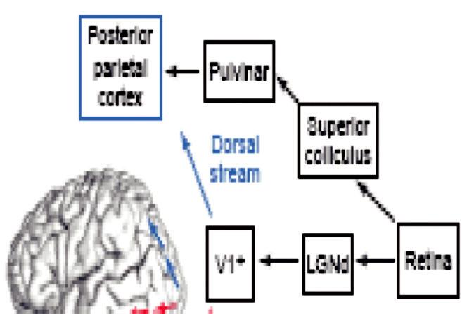 """Ventrální a dorzální proud zrakové informace Levá mozková hemisféra 1. Dorzální systém (""""Kde?"""") směřuje z V1 do temenní kůry Zpracovává informace o poloze a pohybu předmětů v prostoru, podílí se na zrakově řízených akcích 2. Ventrální systém (""""Co"""") směřuje z V1 do spodní týlní a spánkové kůry Zpracovává informace o barvách, tvářích, identitě předmětů Posterior parietal cortex zadní temenní kůra Pulvinar pulvinar talamu Superior coliculus horní hrbolky čtverohrbolí Retina sítnice LG Nd corpus geniculatum laterale V1 V1 primární zraková kůra Dorsal stream dorzální proud Ventral stream ventrální proud Occipitotemporal cor týlní a spánková kůra"""
