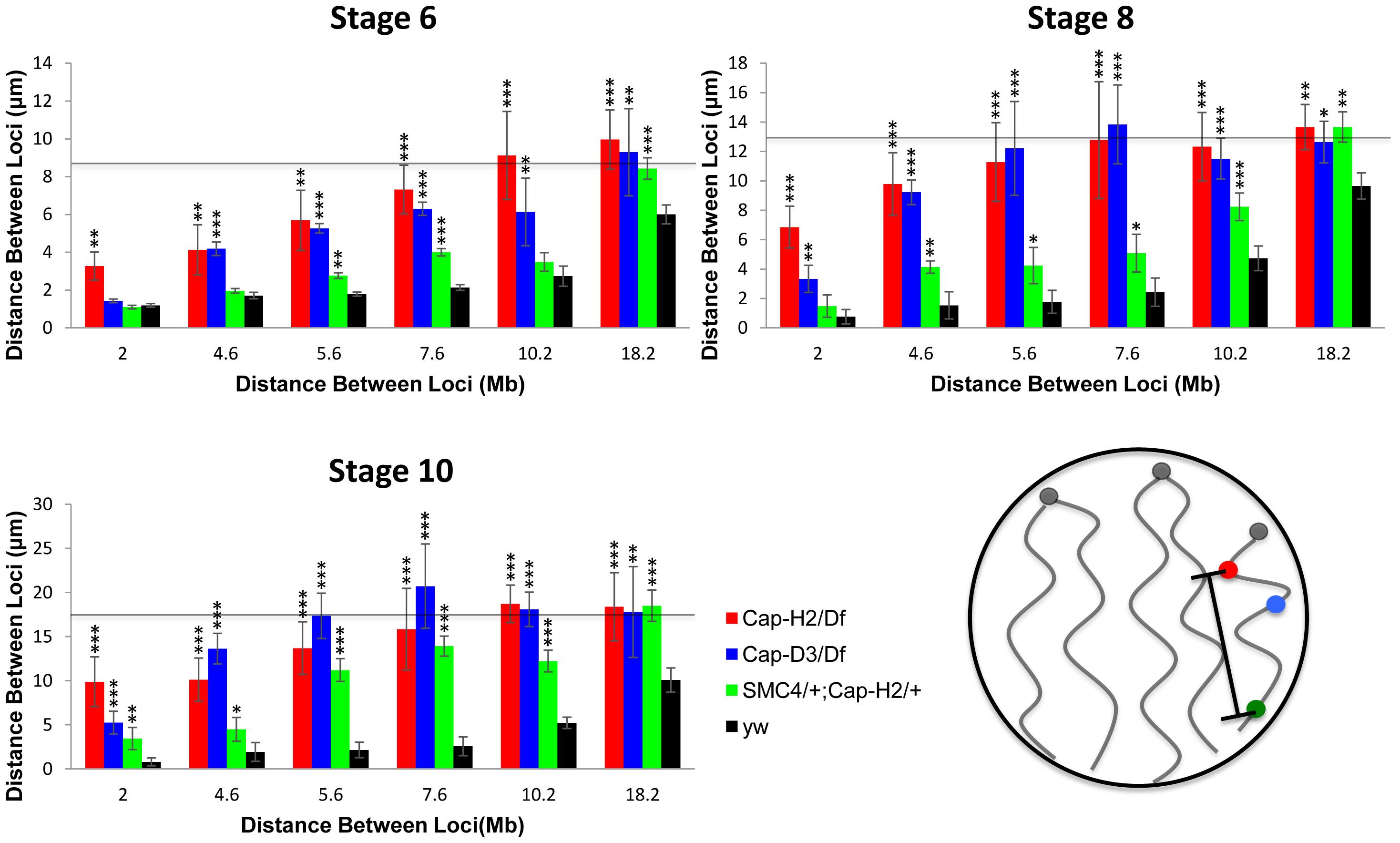 Condensin II promotes chromosome axial compaction.