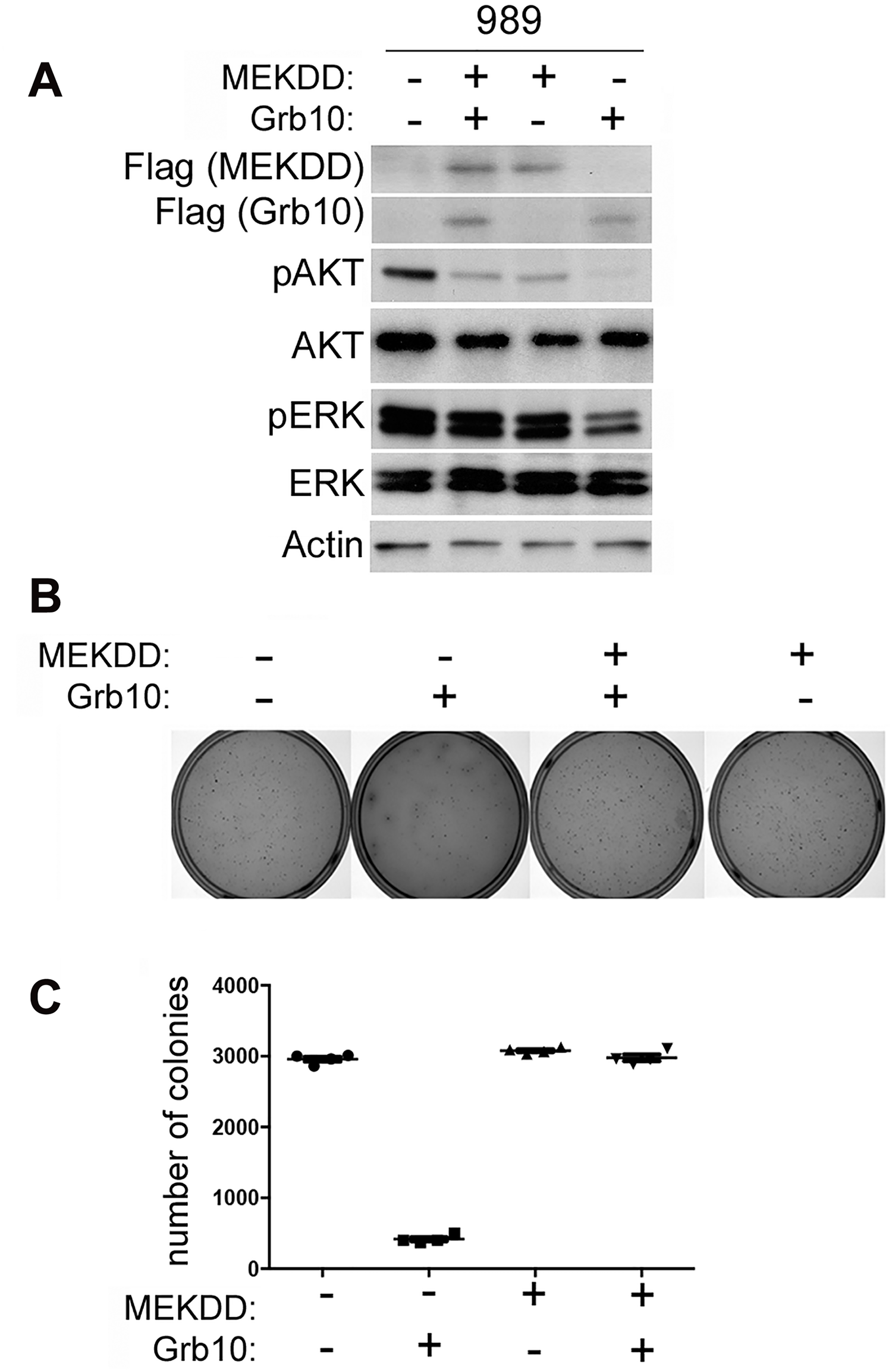 Expression of constitutively activated MEK rescues tumor cells from <i>Grb10</i> mediated suppression of colony formation.