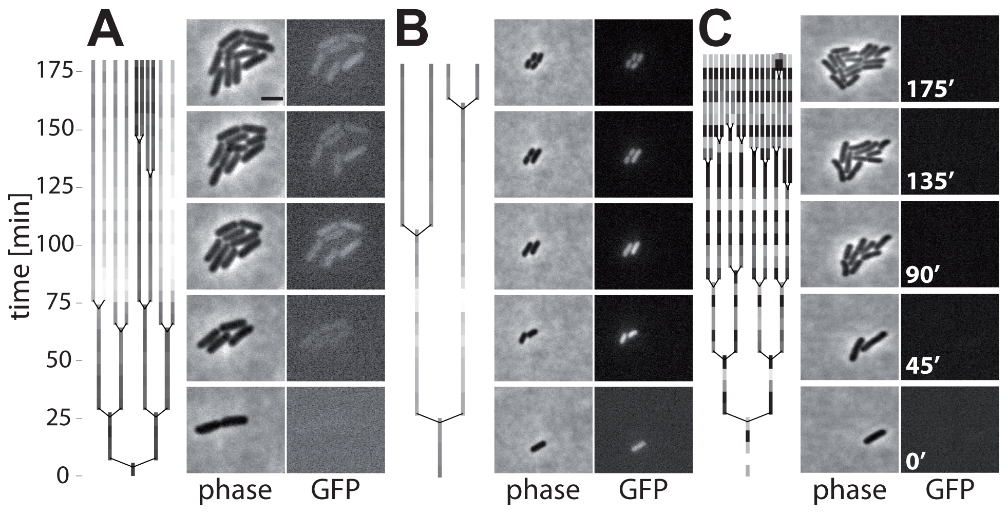 Time-lapse microscopy shows onset of <i>ttss-1</i> expression and concomitant growth retardation.