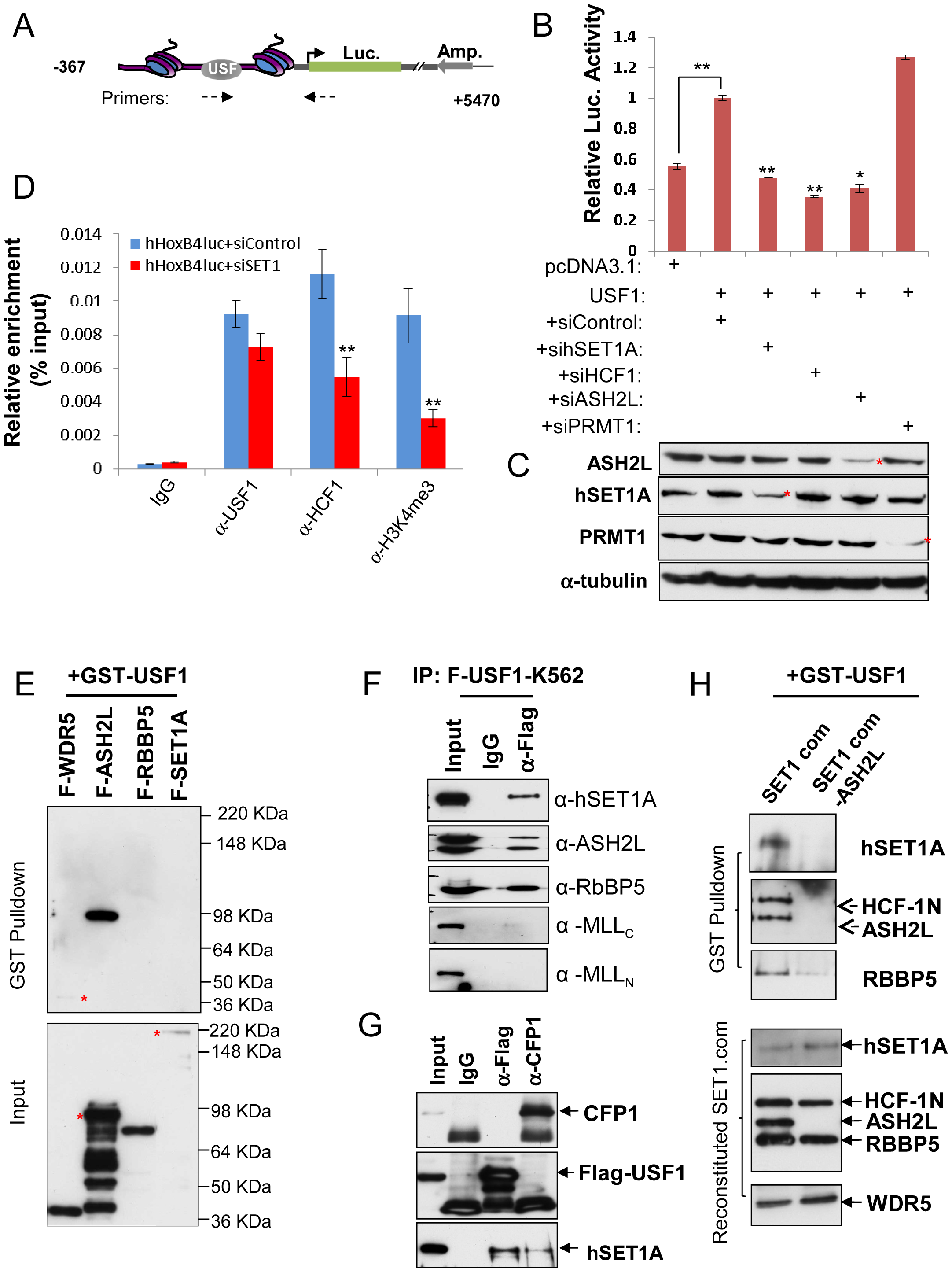 ASH2L mediates USF1 interaction with the hSET1A core complex and <i>Hox</i> gene activation.
