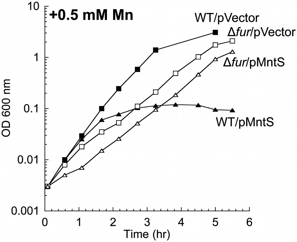 MntS-overproducing cells are manganese sensitive.