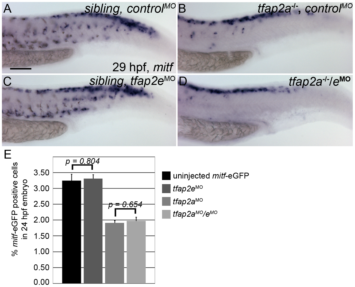 Numbers of <i>mitfa</i>-expressing cells are equivalent in <i>tfap2a/e</i> doubly-deficient and <i>tfap2a</i> deficient embryos.