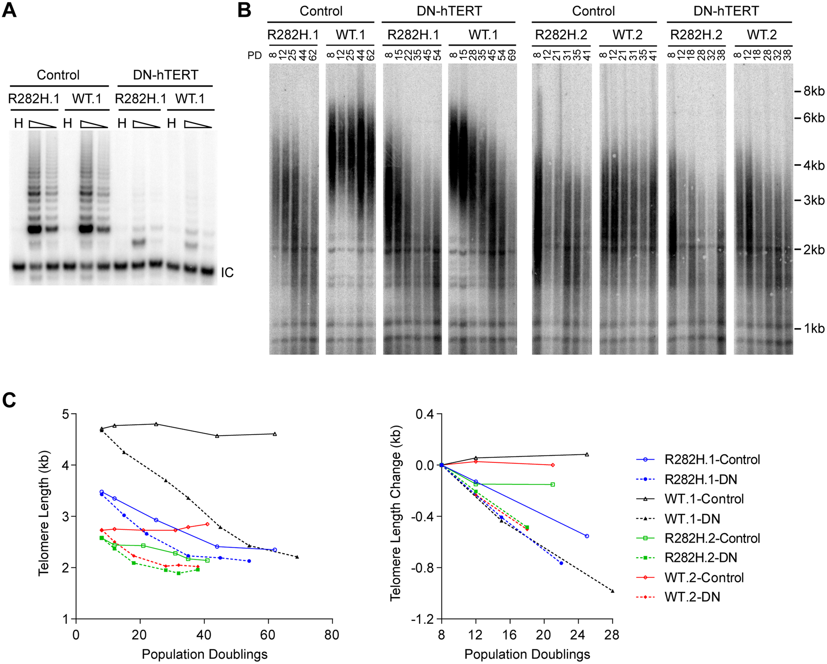 Telomerase inhibition in TIN2-R282H heterozygotes and TIN2-WT cells leads to similar rates of telomere erosion.