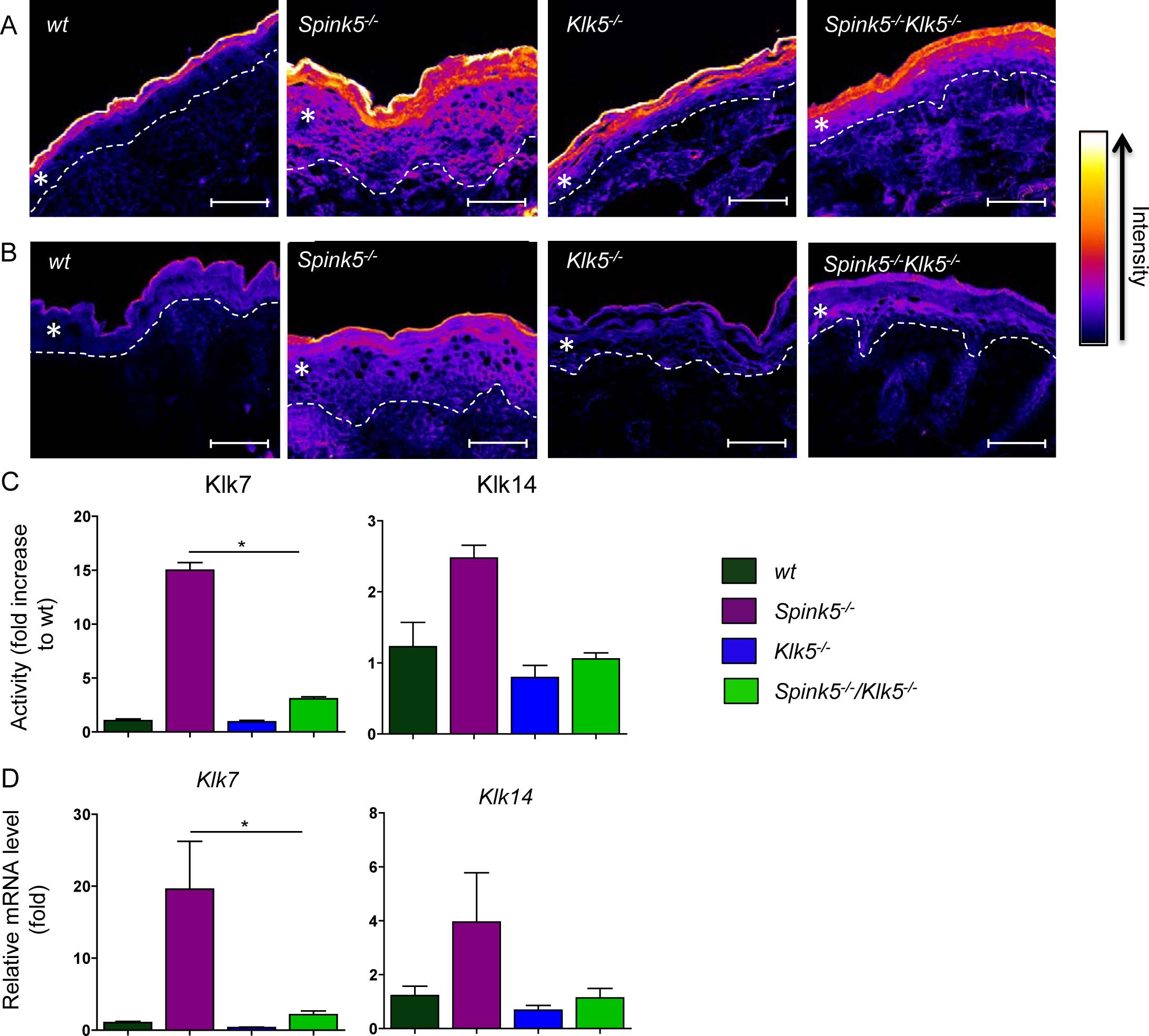Klk5 is a key regulator of epidermal proteolysis.