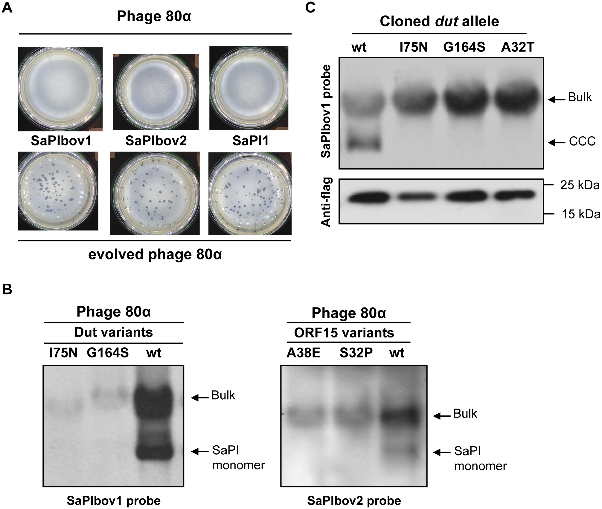 SaPI interference in evolved phages.