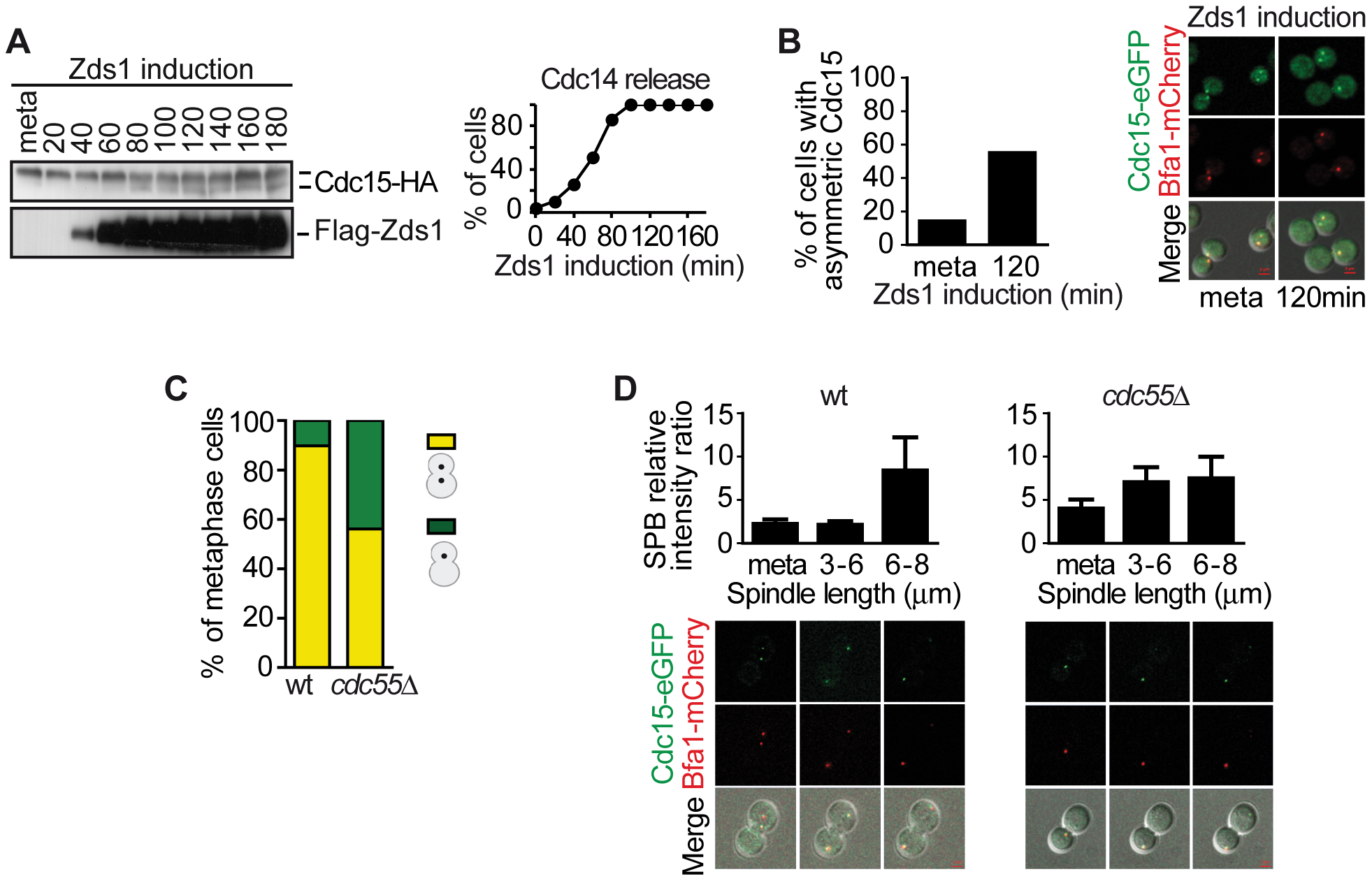 Downregulation of PP2A<sup>Cdc55</sup> promotes Cdc15 activation.