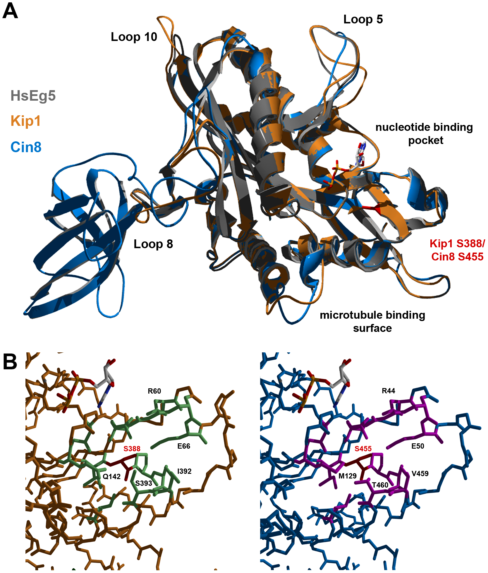 Homology models of Kip1 and Cin8 motor domains bound to MgADP.