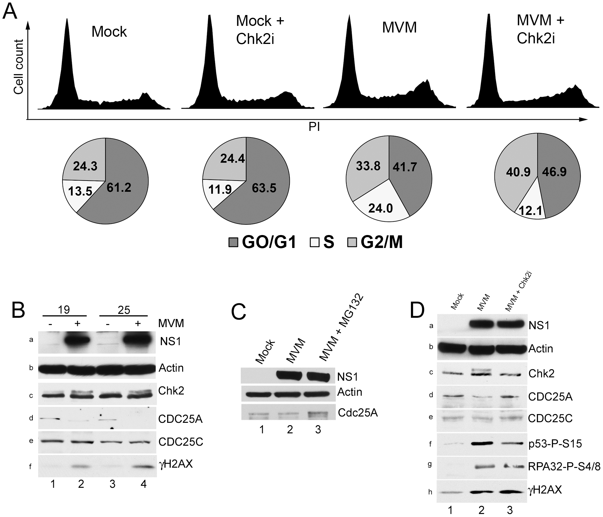 Chk2 activation leads to a transient S-phase accumulation mediated by loss of CDC25A.