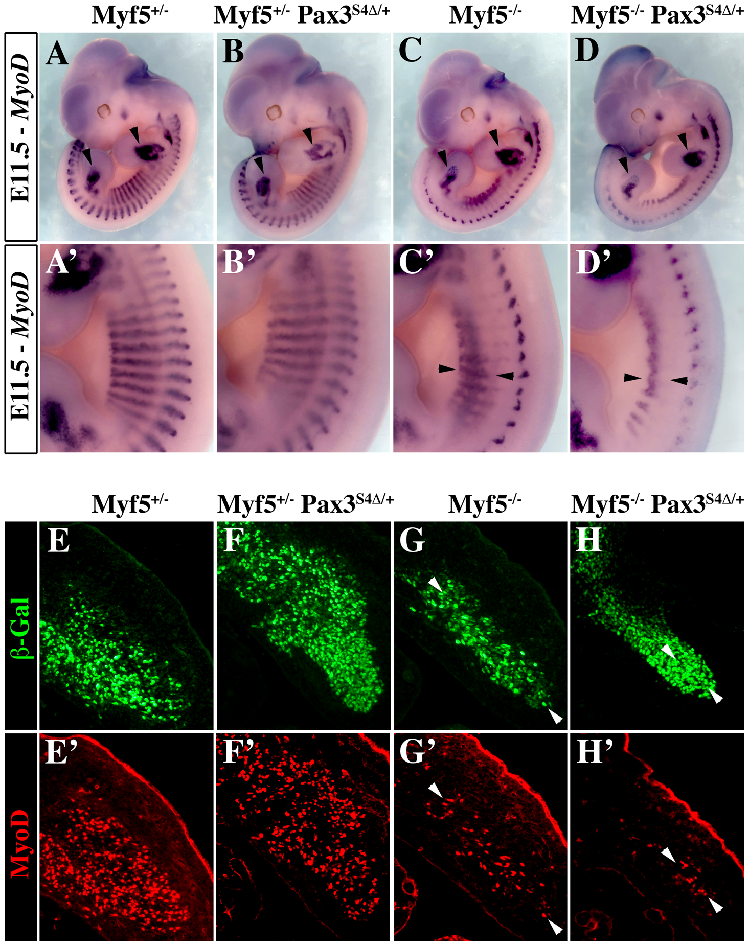 Six4Δ affects <i>Myod</i> expression and myogenesis in the absence of Myf5.