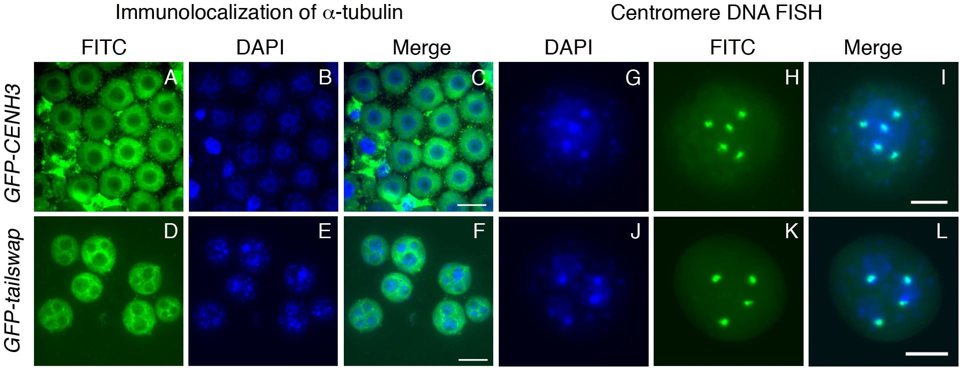 Lack of centromere function in meiosis causes micronuclei to form in <i>GFP-tailswap</i> pollen.