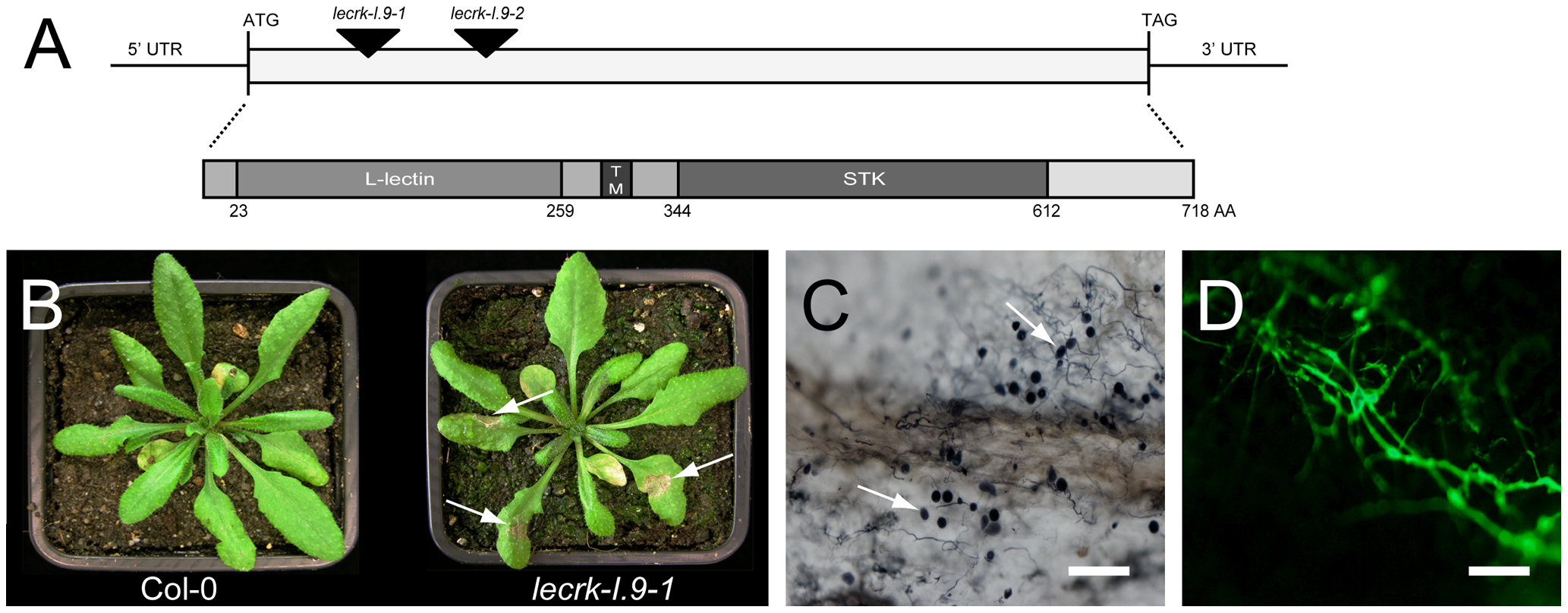 Arabidopsis mutants disrupted in <i>LecRK-I.9</i> are impaired in resistance to <i>P. brassicae</i>.