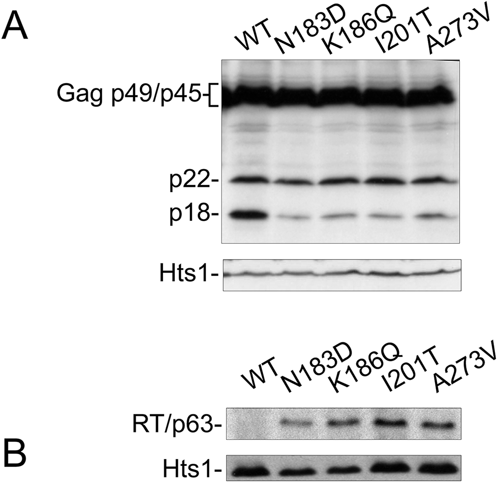 CNC<sup>R</sup> mutations N183D, K186Q, I201T, and A273V alter Ty1 protein levels.