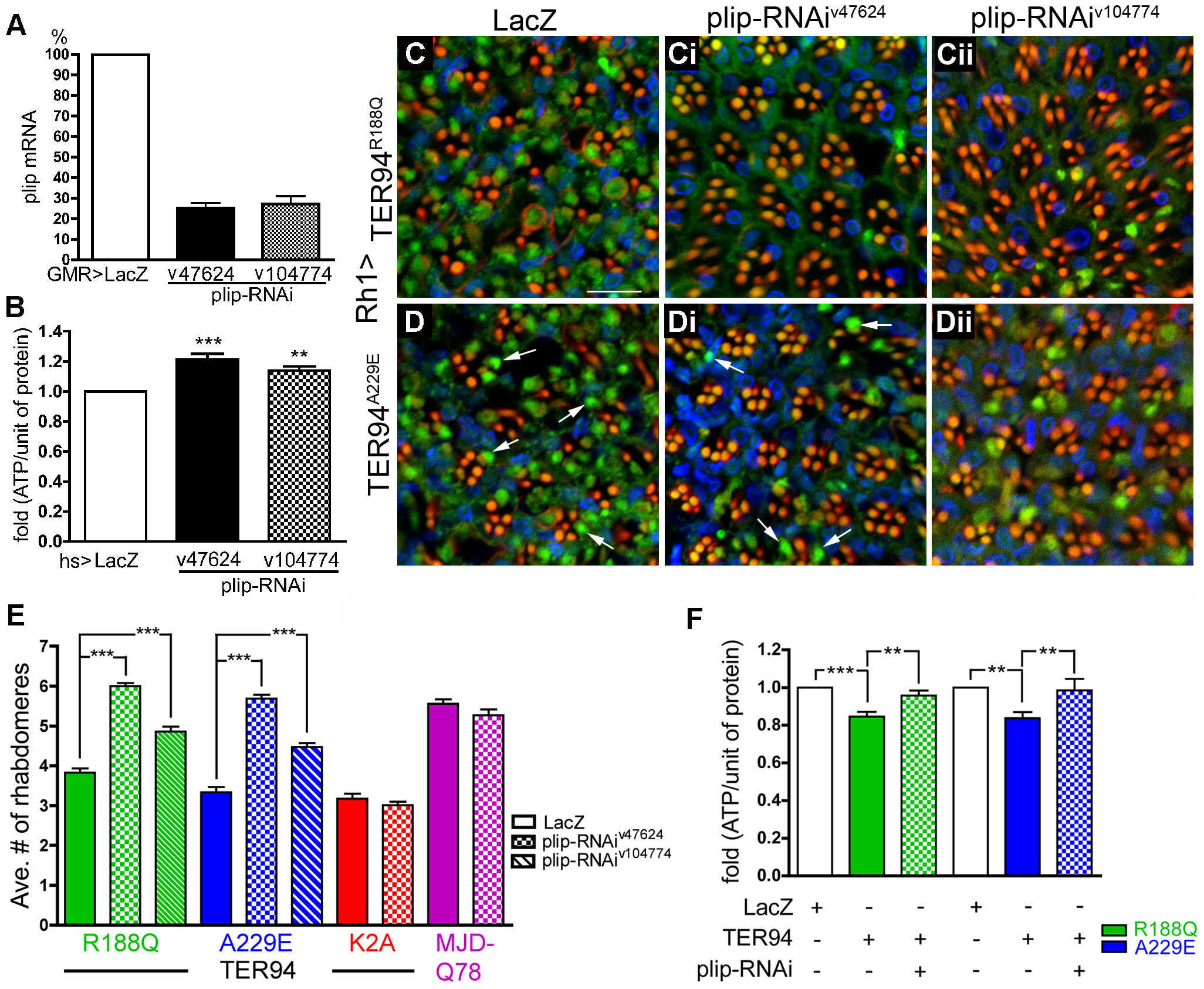 Neurodegeneration induced by pathogenic TER94 mutants can be suppressed by the knockdown of <i>plip</i>.