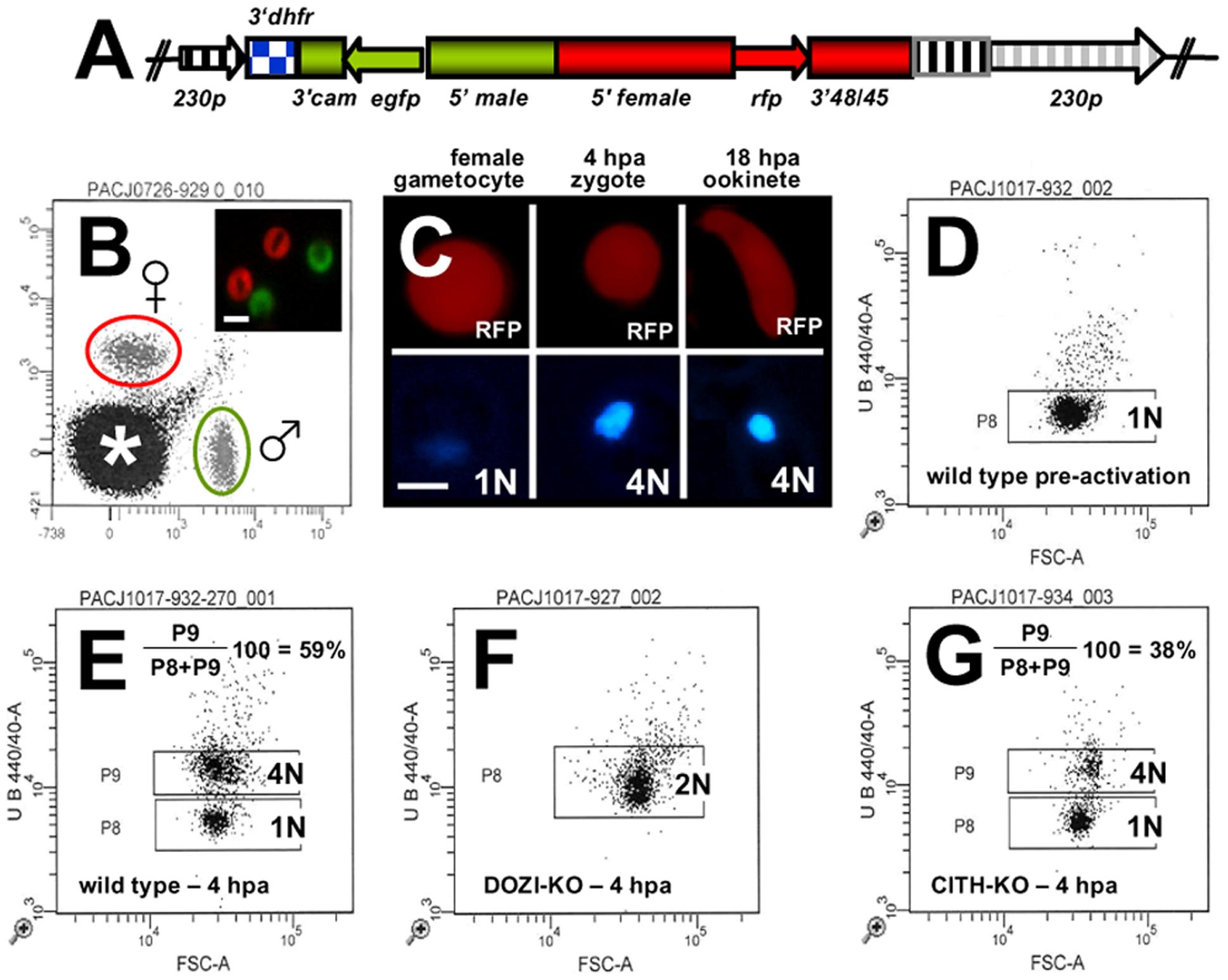 Zygotes formed by Δ<i>pbcith</i> and Δ<i>pbdozi</i> gene deletion mutants abort zygote to ookinete transformation.
