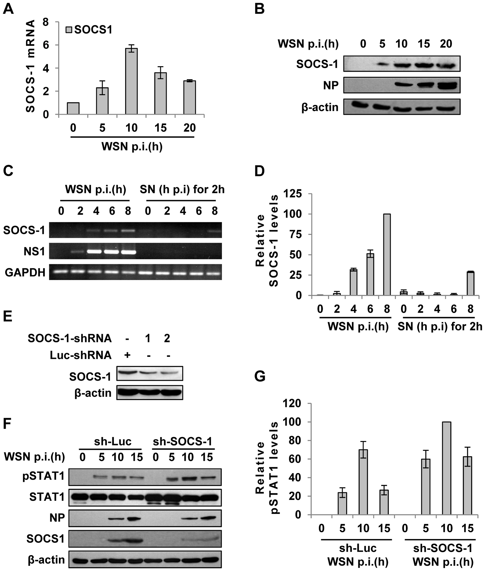 IAV infection induces robust expression of SOCS-1, resulting in decreased phosphorylation of STAT1.