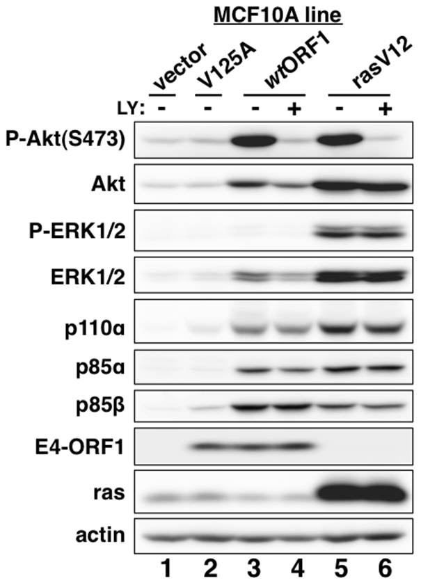E4-ORF1 activates PI3K and upregulates PI3K protein levels in a PBM-dependent manner but does not activate the MAP kinases ERK1 and ERK2.