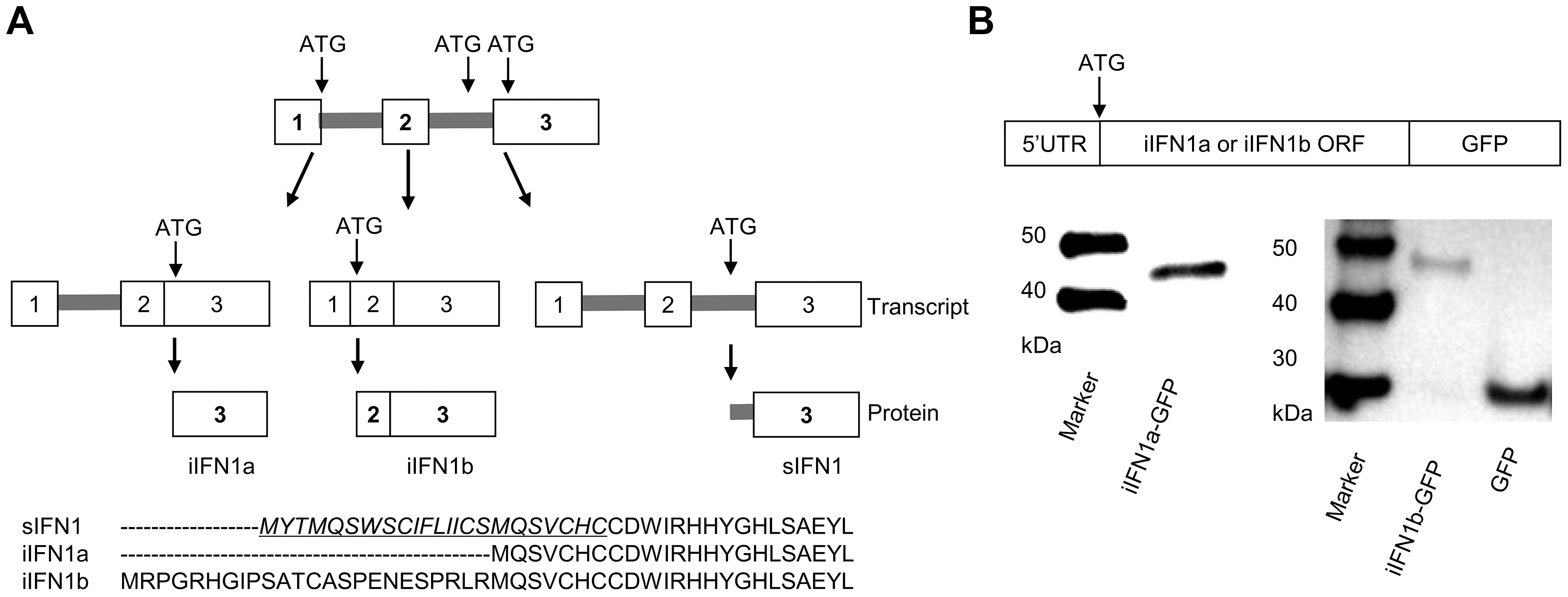 Alternative splicing of rainbow trout IFN1 mRNA leads to synthesis of intracellular proteins.