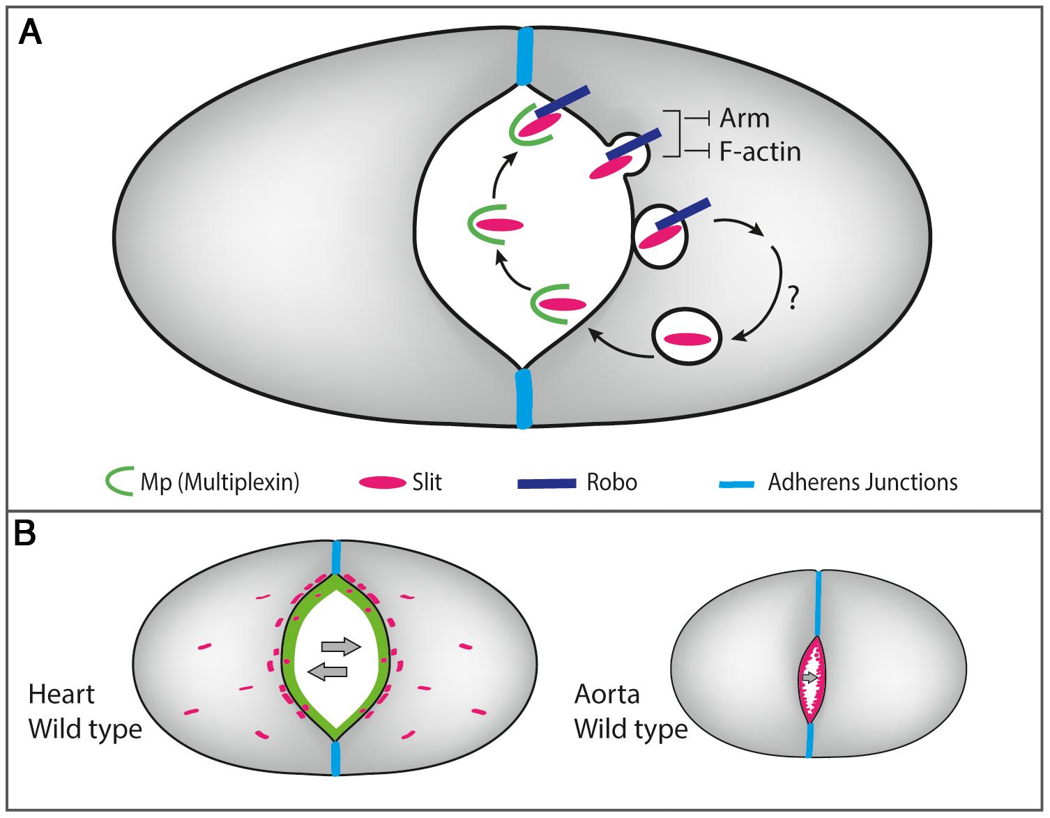 A scheme describing the molecular interactions between Mp, Slit/Robo and F-actin in the heart and the aorta.