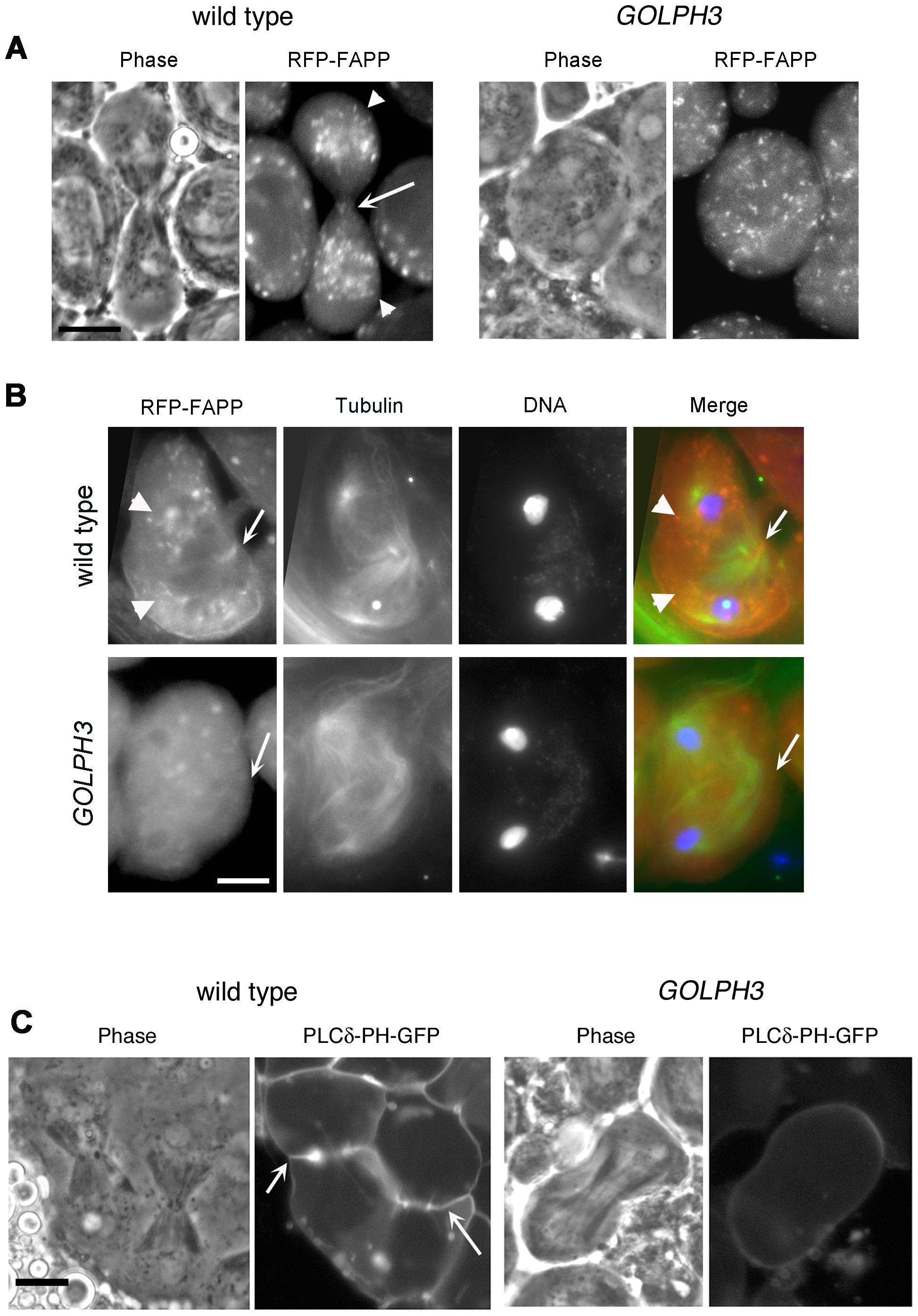 Localization of PI(4)P is disrupted in telophase cells from <i>GOLPH3</i> mutants.