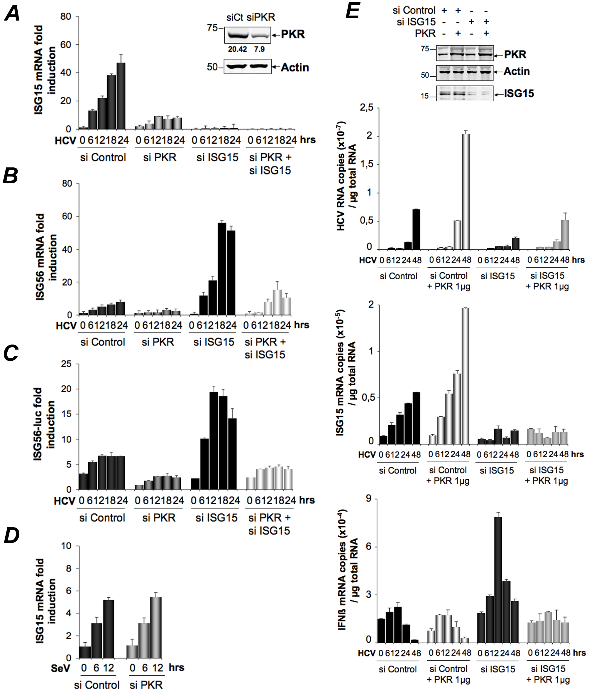HCV triggers a PKR-dependent pathway early in infection to induce ISG15 and other genes.