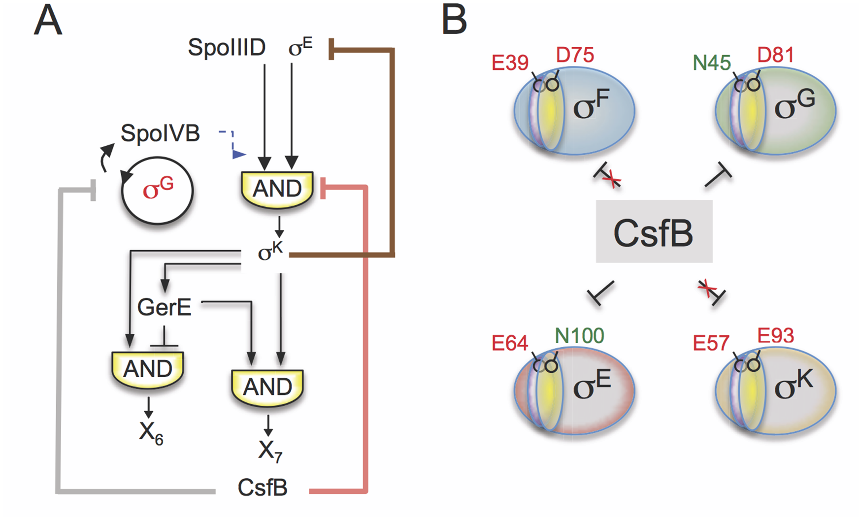 Model for the functions of CsfB.