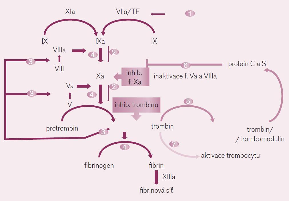 Místo působení přímých inhibitorů trombinu a faktoru Xa. Ve schématu je dobře dokumentován význam obou faktorů při <i>iniciaci koagulace</i> (fáze 1 a 2) – kdy působením tkáňového faktoru (TF) je uvolněno po aktivaci faktoru Xa malé množství trombinu, i ve fázi <i>propagace koagulace</i> (fáze 3 a 4) – kdy toto malé množství trombinu aktivuje celou kaskádu na více místech, včetně faktoru Xa. Uvolněné větší množství trombinu pak při <i>inhibici koagulace</i> (fáze 5 a 6) aktivuje trombomodulin a proteiny C a S degradující komplexy aktivních koagulačních faktorů. Paralelně trombin aktivuje destičkovou hemostázu stimulací trombocytárních receptorů PAR-1 (fáze 7 ve schématu).