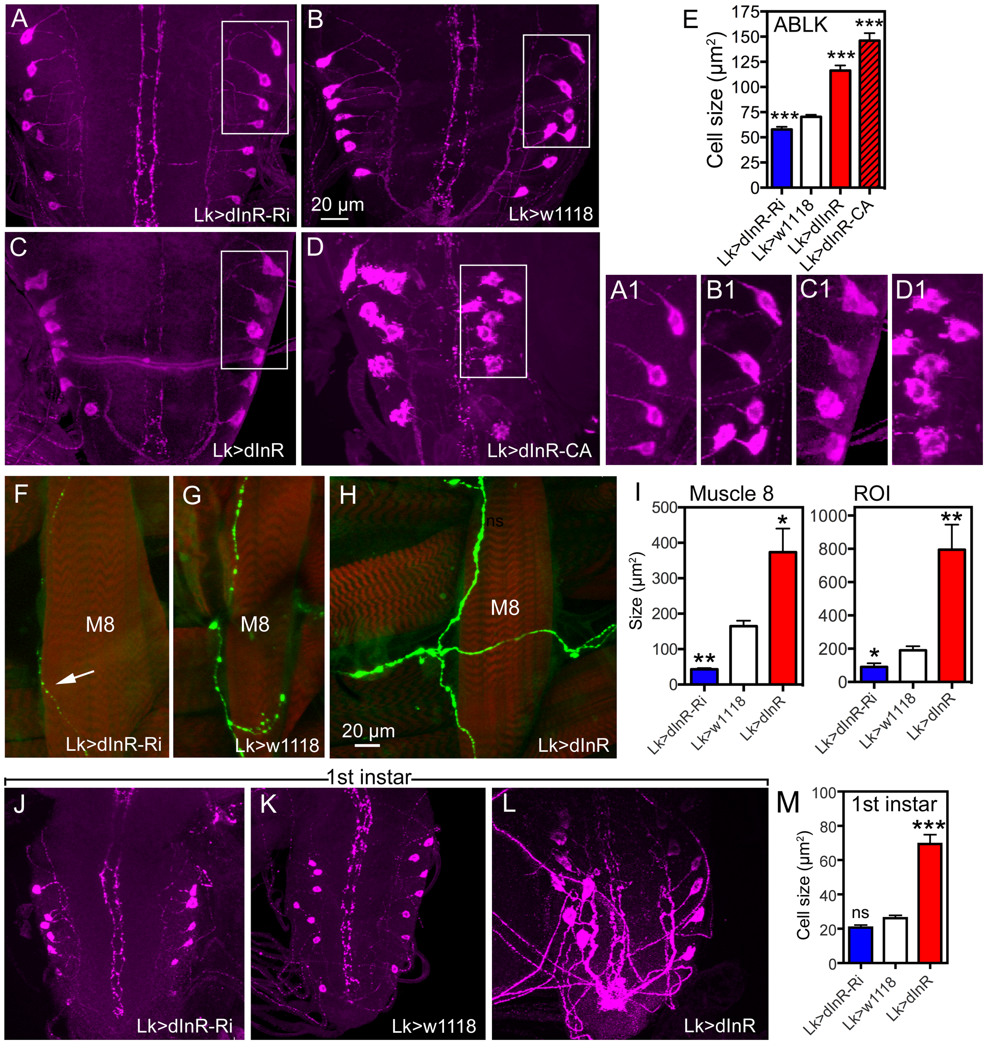 Manipulations of insulin receptor (dInR) levels alter size of the larval LK neurons in abdominal ganglia only.