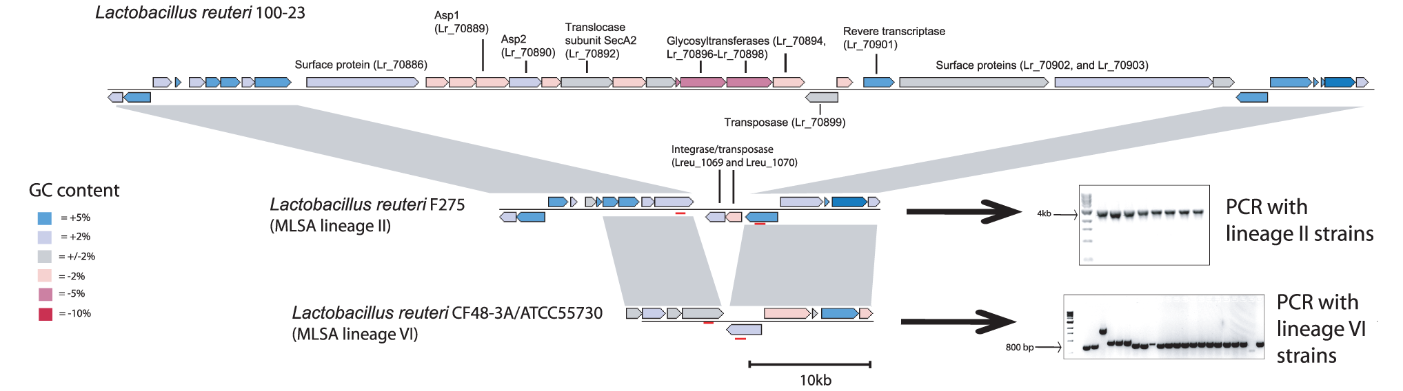 Comparison of the genomic location that contains the accessory SecA2 cluster in <i>L. reuteri</i> 100-23.