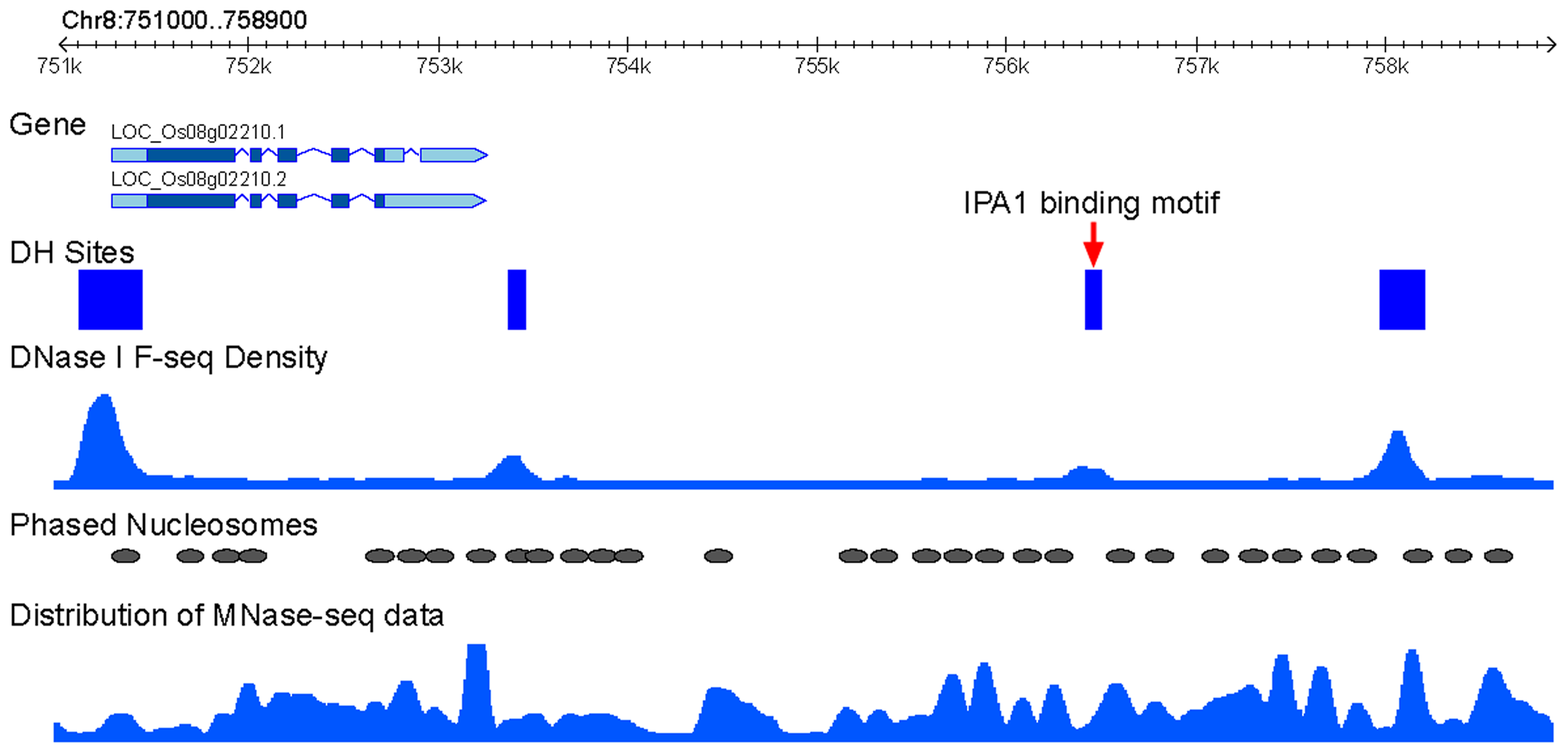 Association IPA1-binding sites with phased nucleosomes.