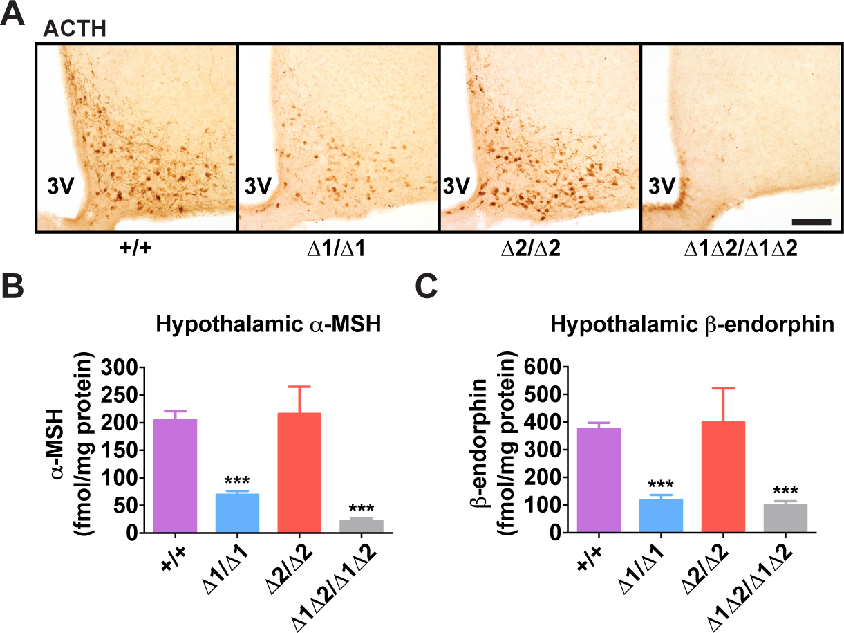 Hypothalamic POMC-derived peptides in nPE mutant mice.