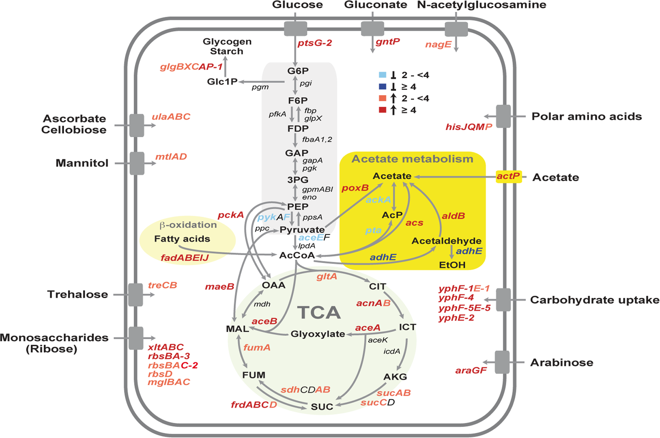 Temperature-dependent reprogramming of the primary metabolism of <i>Y. pseudotuberculosis</i>.