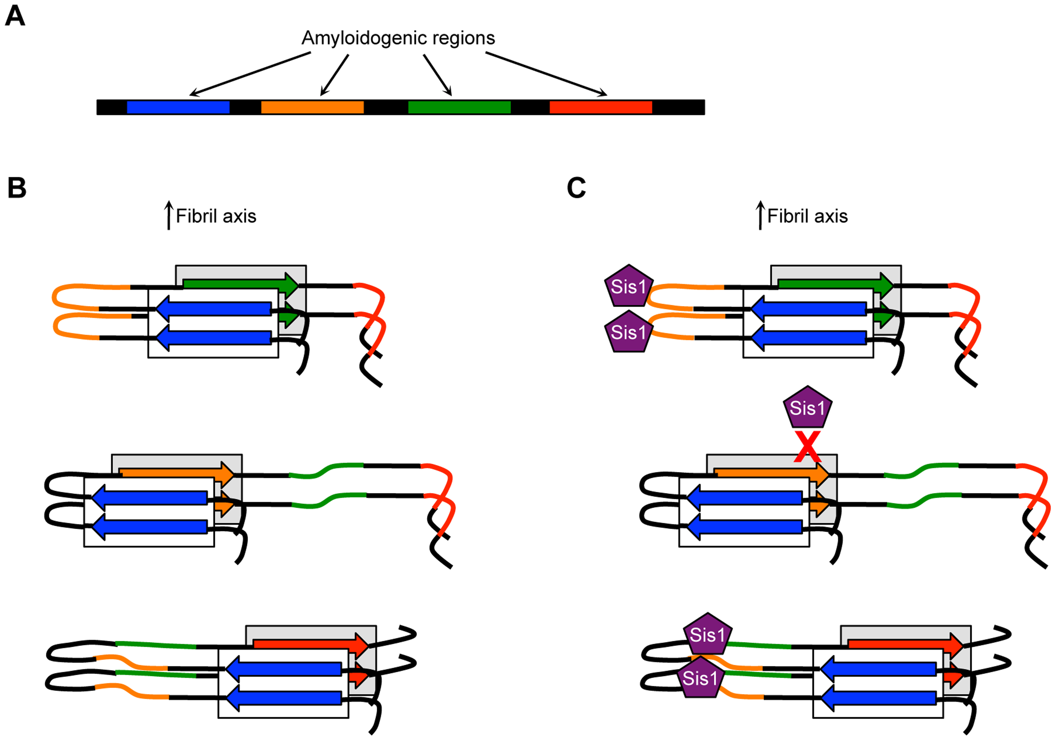 Model showing how distinct amyloidogenic regions could influence amyloid polymorphism and associated phenotypic variation.