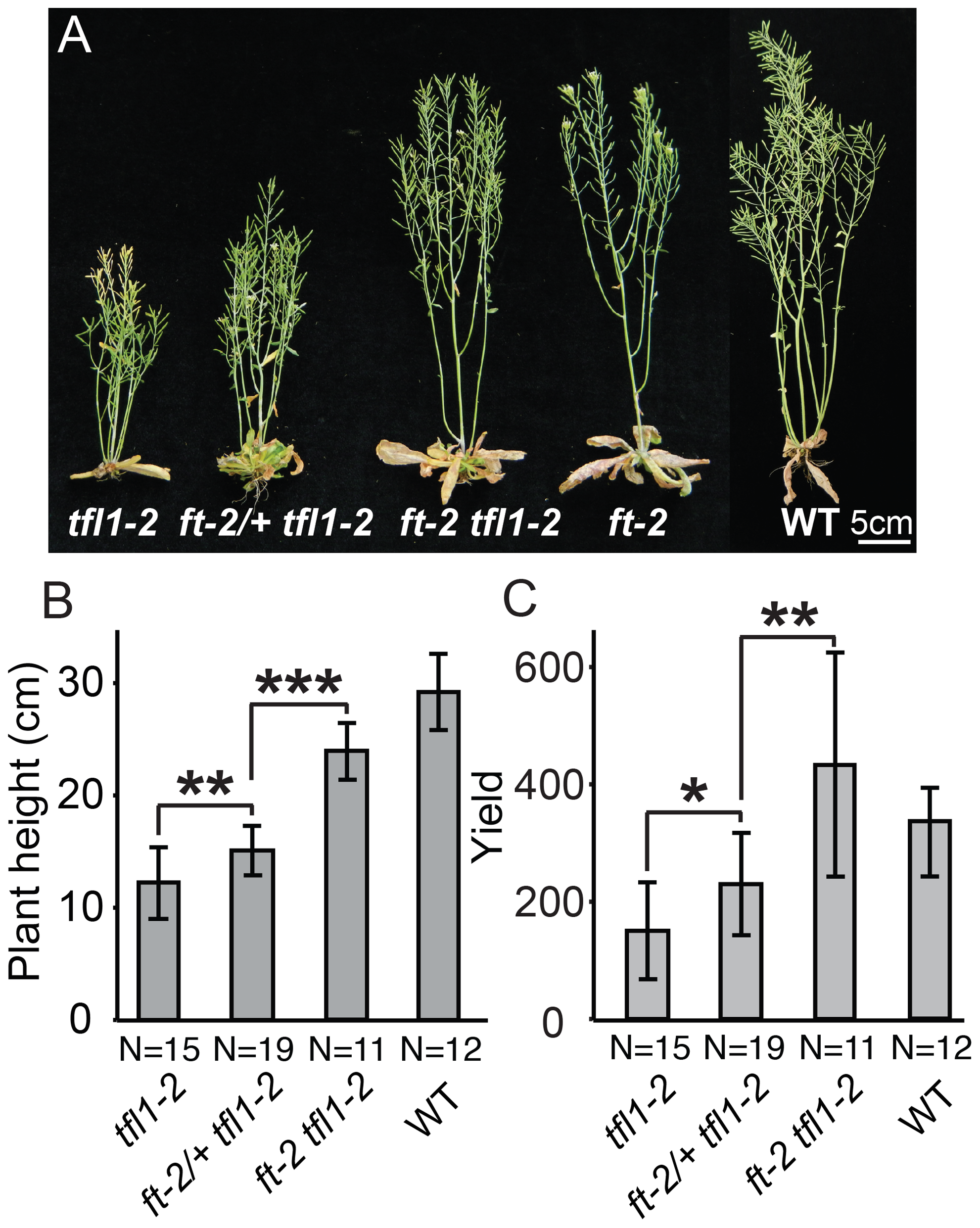 Dose-dependent suppression of <i>tfl1</i> (<i>sp</i>) by <i>ft/</i>+ (<i>sft/</i>+) heterozygosity is conserved in <i>Arabidopsis thaliana</i>.