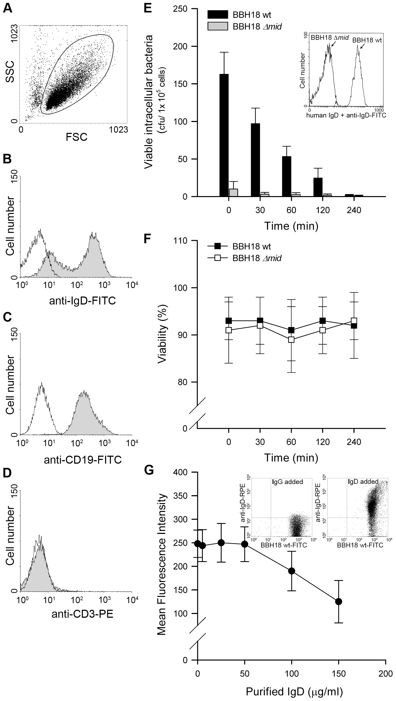 Internalized MID-expressing <i>M</i>. <i>catarrhalis</i> do not survive in tonsillar B cells.