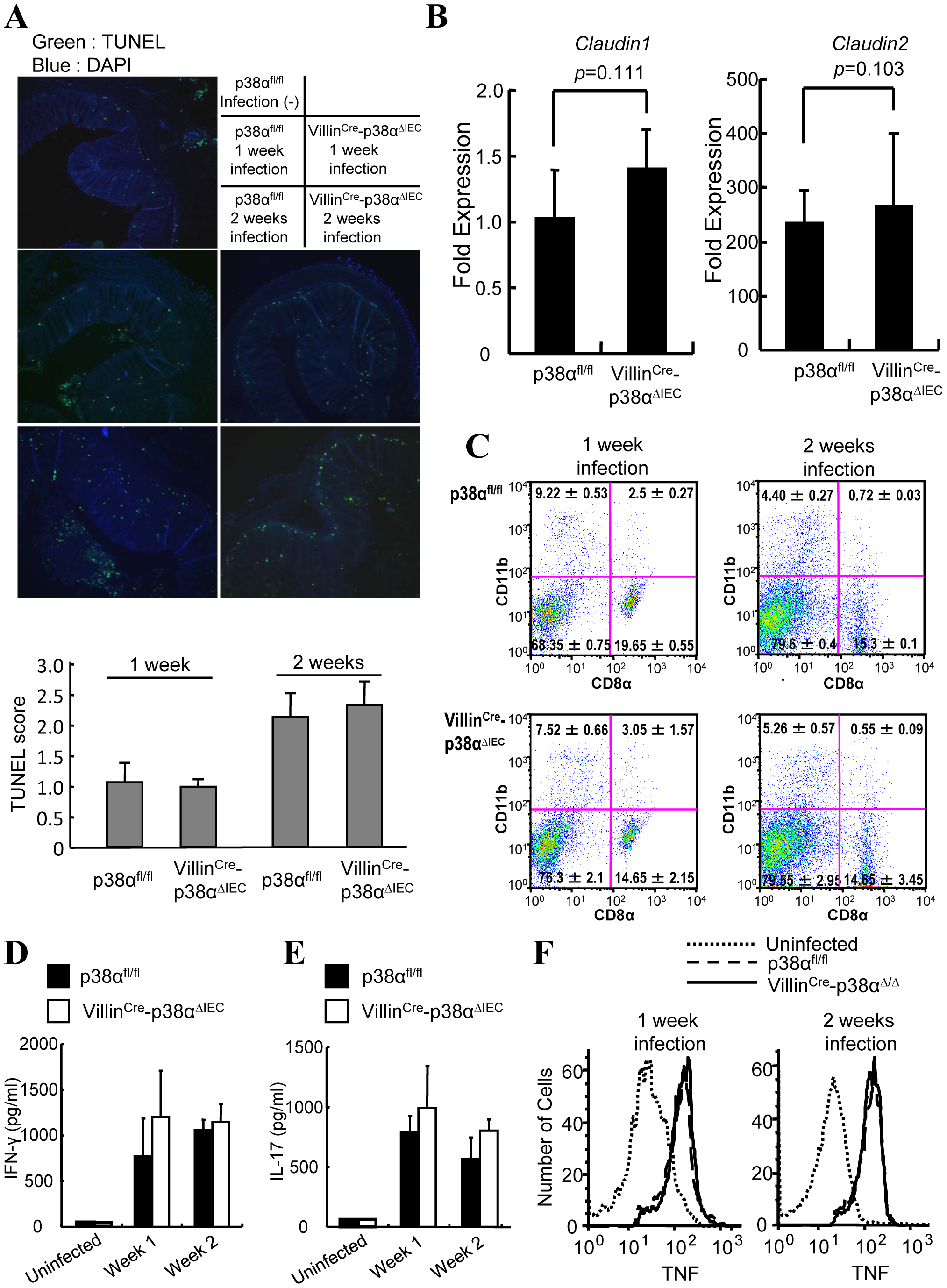 Epithelial integrity and immune cells are normal in Villin<sup>Cre</sup>-p38α<sup>ΔIEC</sup> mice after <i>C. rodentium</i> infection.