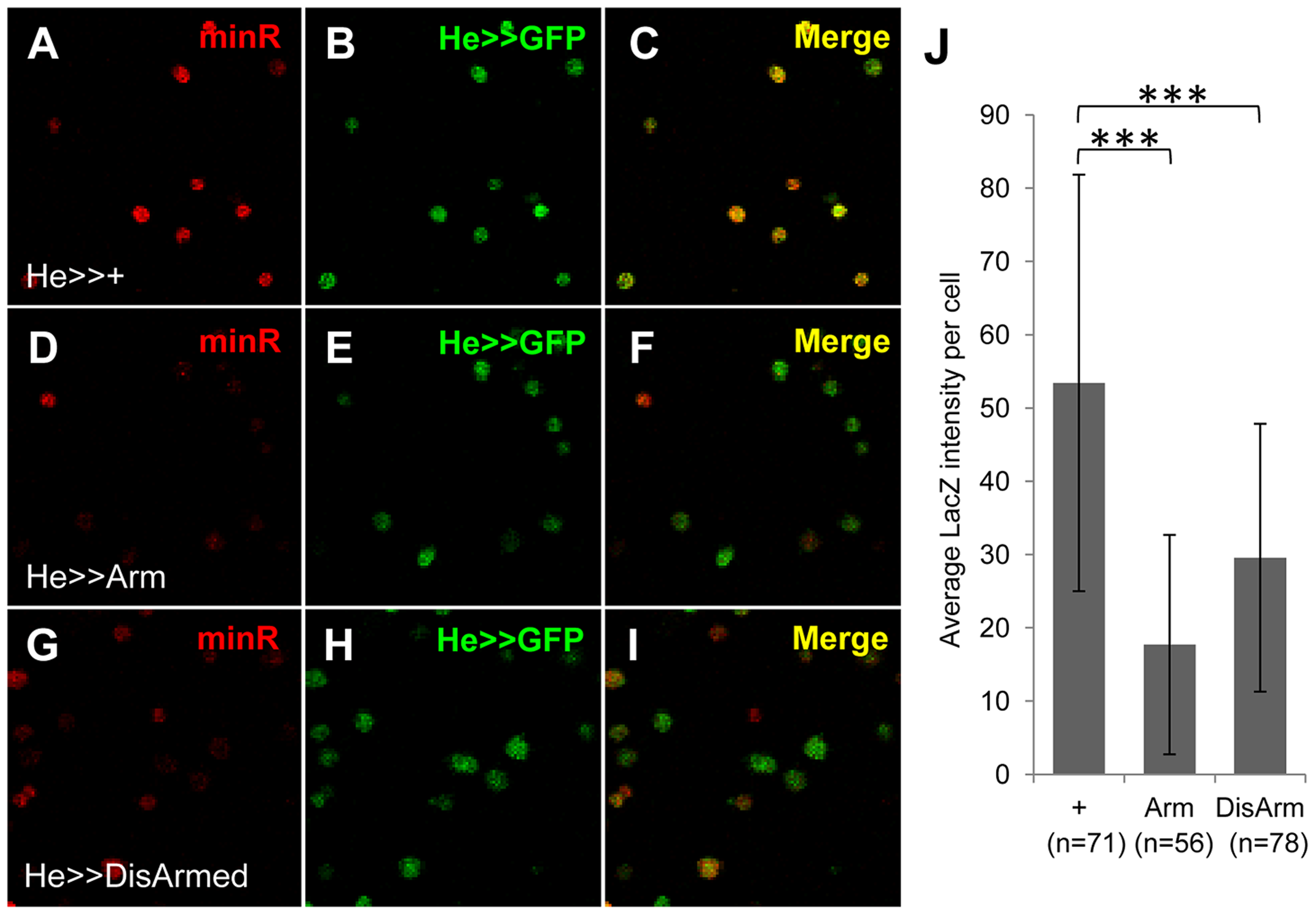 The minR reporter is repressed by Wnt signaling in circulating larval hemocytes.
