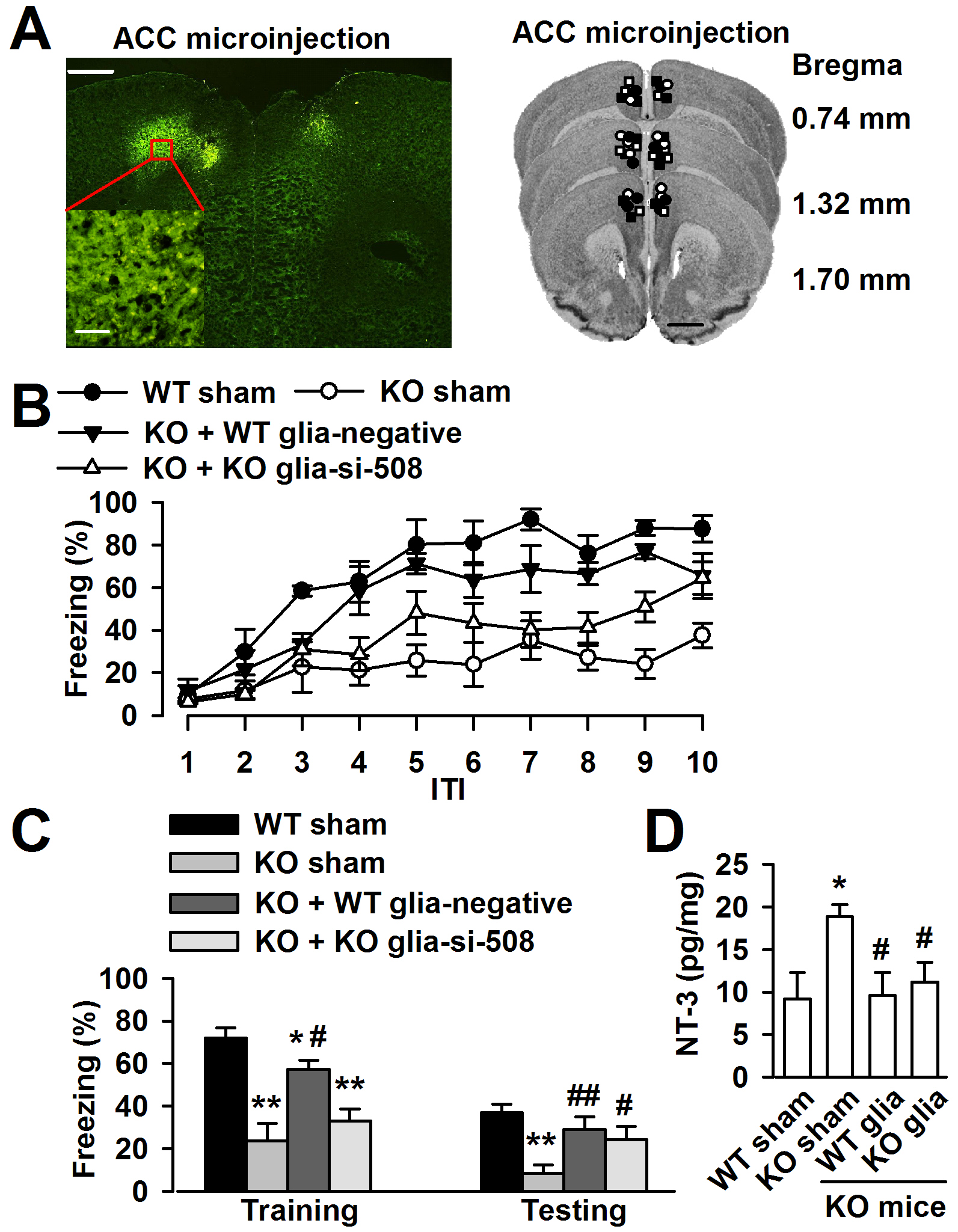 Down-regulation astrocyte-derived NT-3 <i>in vivo</i> reversed the trace fear memory of <i>Fmr1</i> KO mice.
