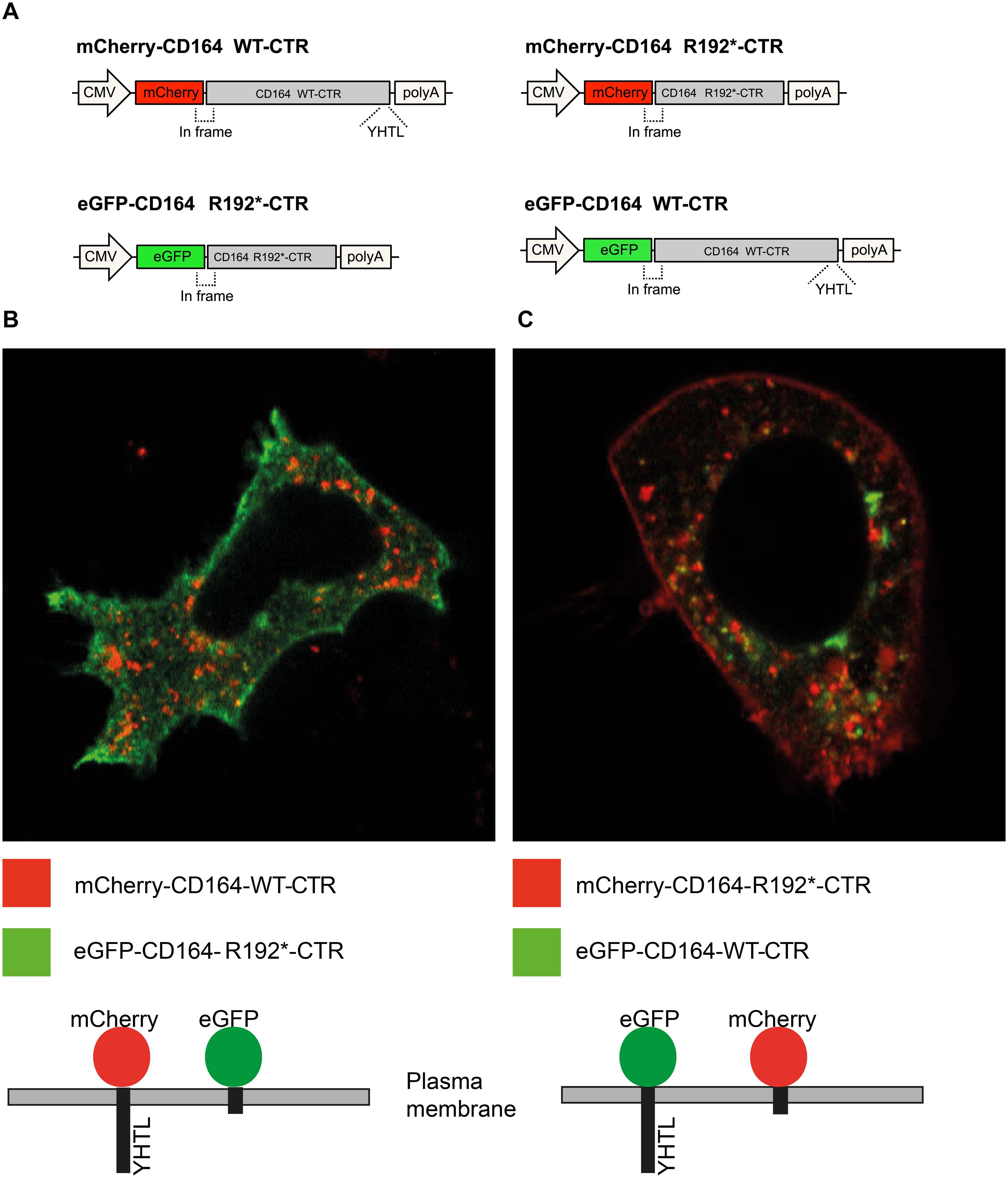 Membrane localization of fluorescent proteins fused to the CD164 C-terminal domain containing the R192* mutation.