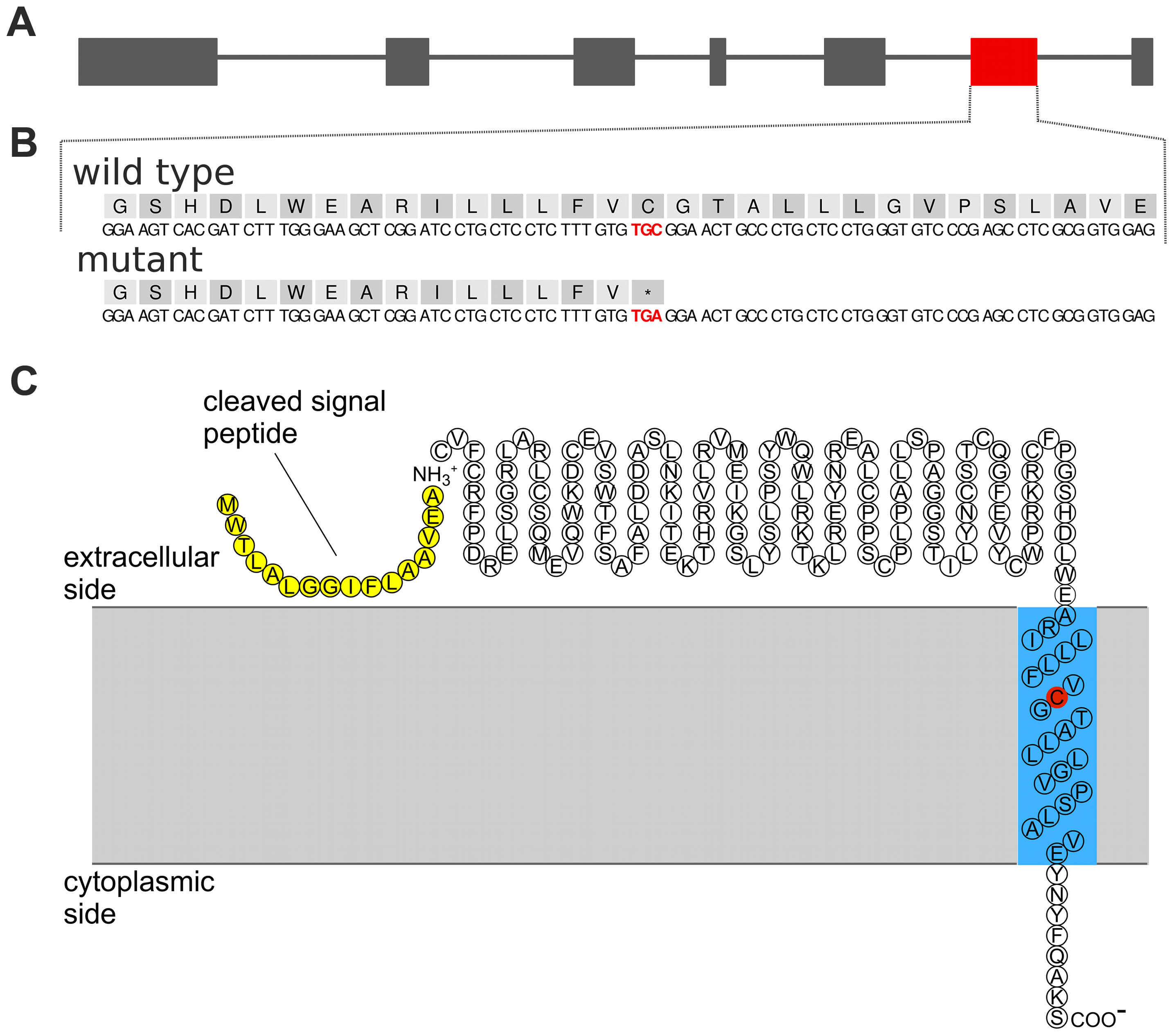 A nonsense mutation in <i>TMEM95</i> resides within the predicted transmembrane domain of the encoded transmembrane protein 95.