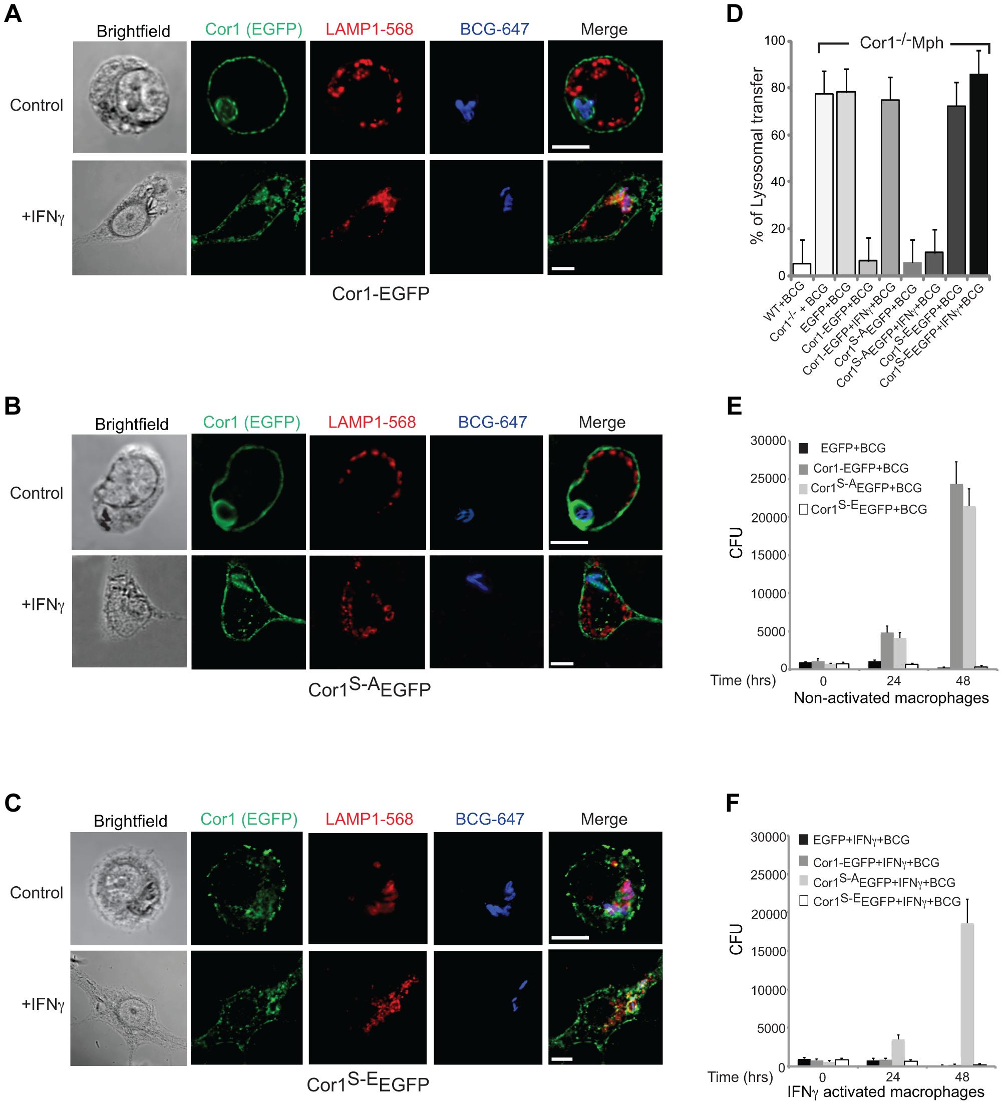 Importance of serine phosphorylated coronin 1 for mycobacterial killing and cargo delivery via macropinocytosis.