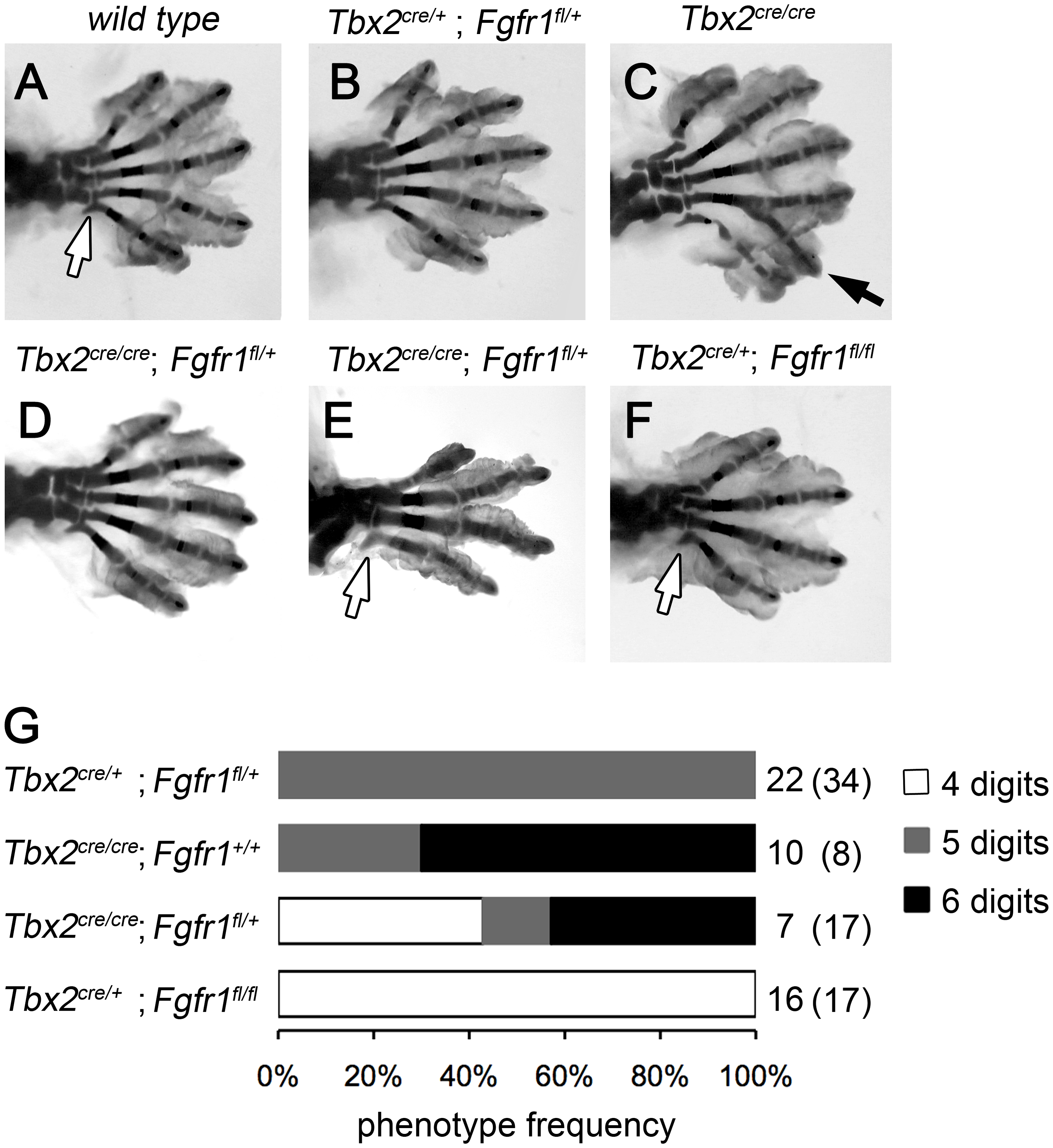 Polydactyly in <i>Tbx2</i>-deficient limbs depends on the Fgf signaling level.