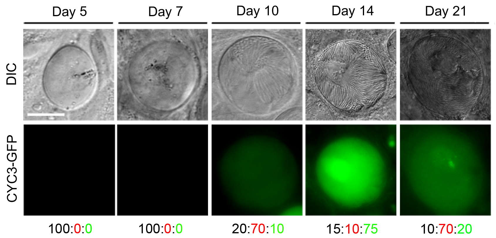 Expression of CYC3-GFP during sporogony in mosquitoes.