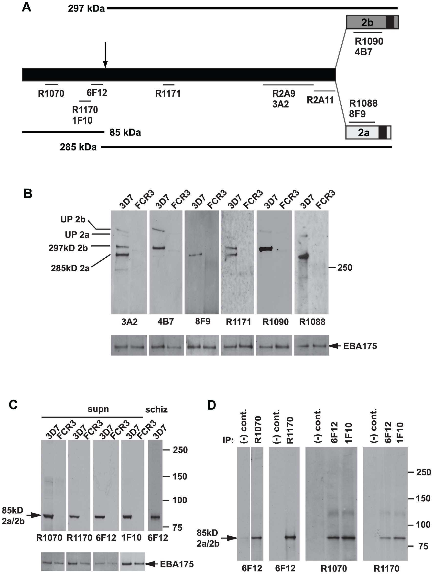 Both the PfRh2a and PfRh2b proteins are processed to release an 85 kDa product into culture supernatants.