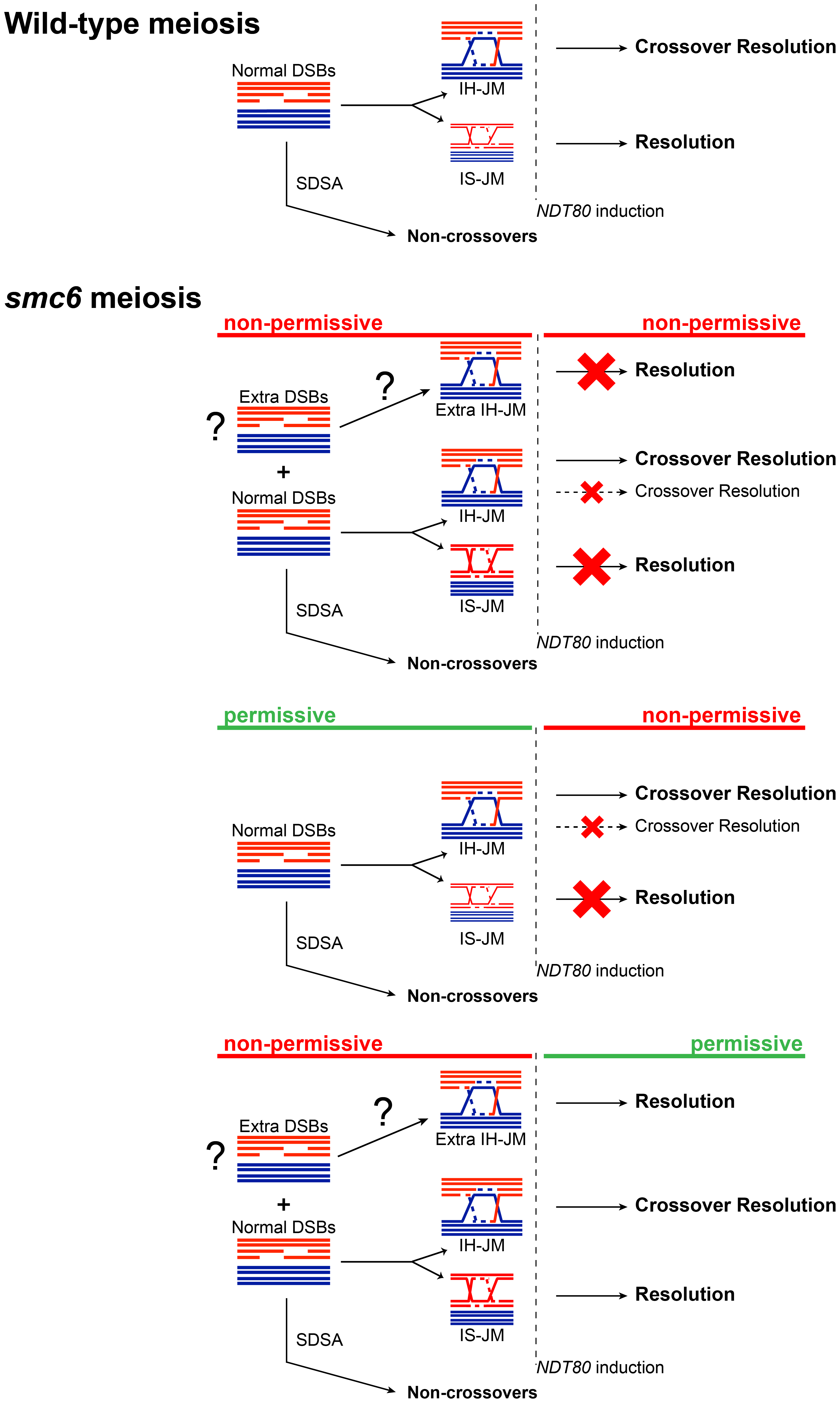 Model for the role of the Smc5/6 complex during meiosis.