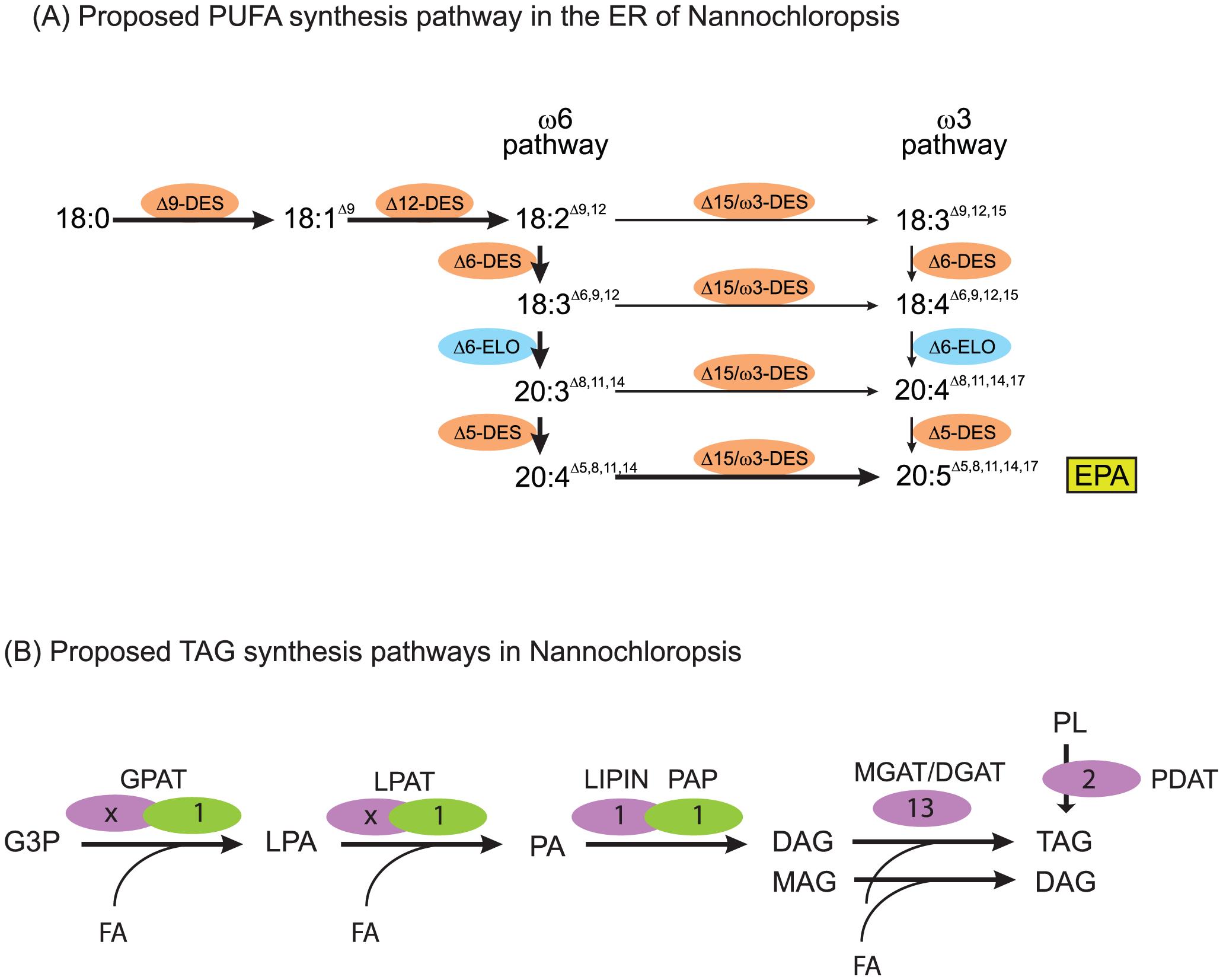 Lipid assembly and modification.